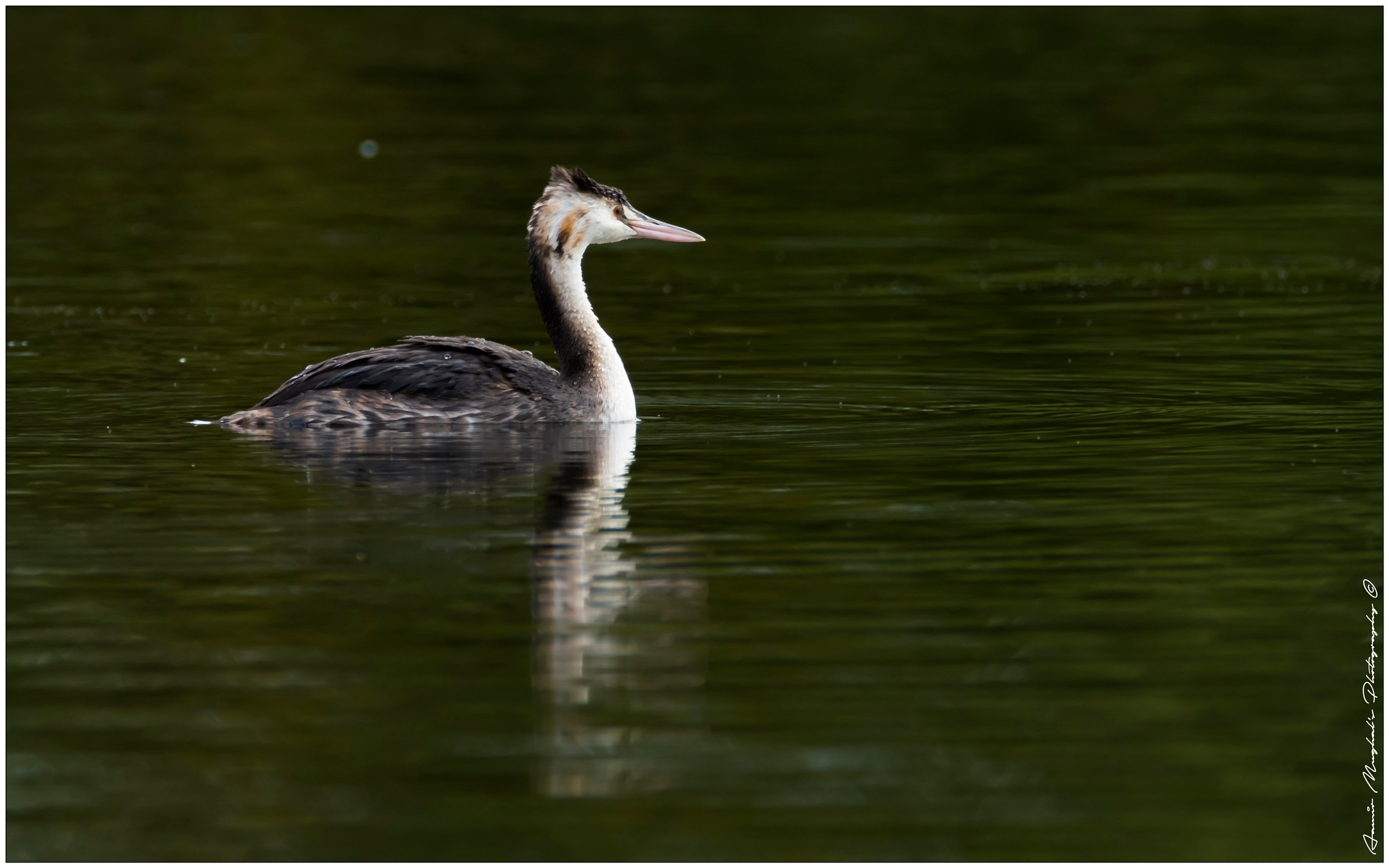 Juvenile Great crested grebe  by aamirmughal