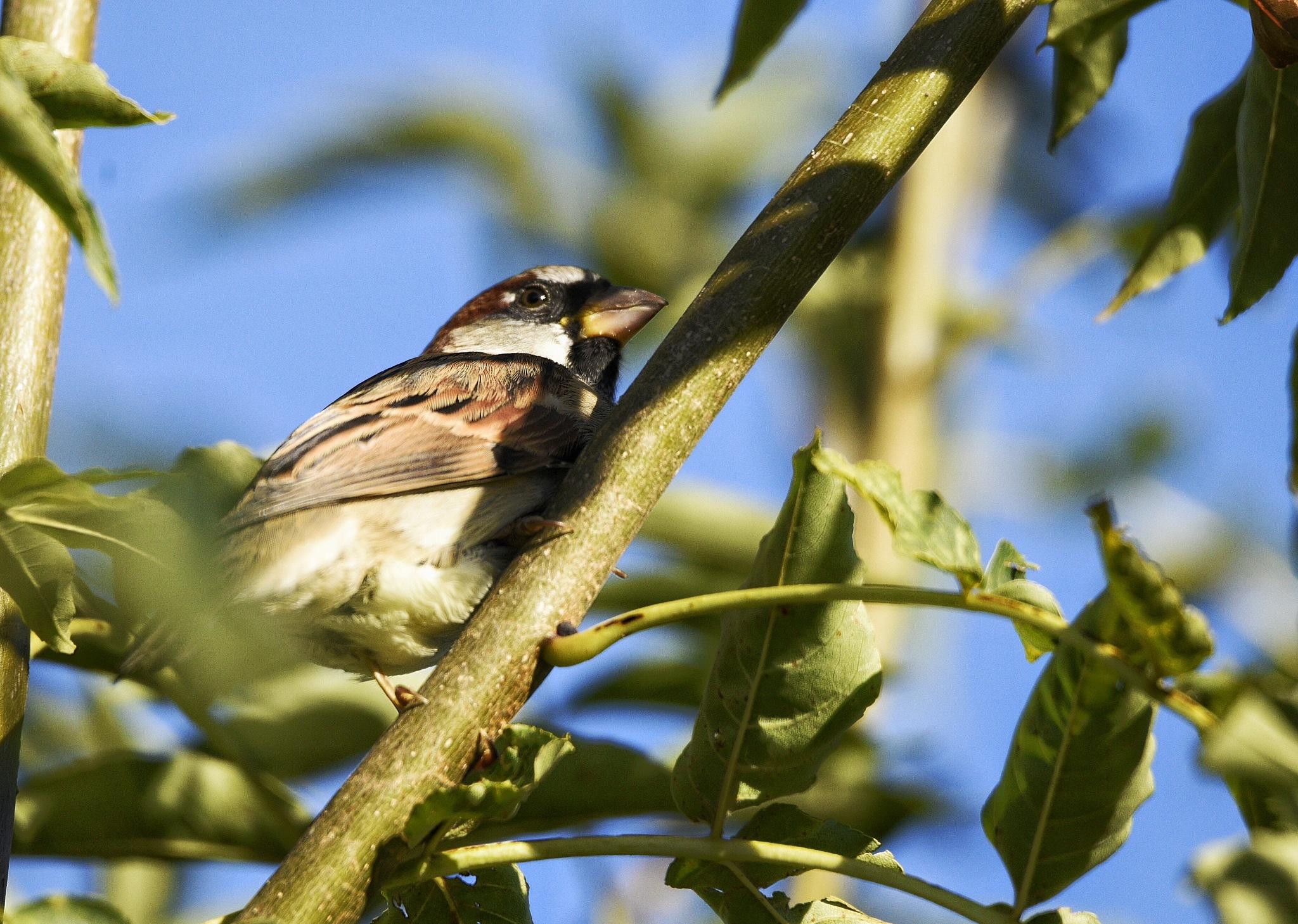 House sparrow  by aamirmughal