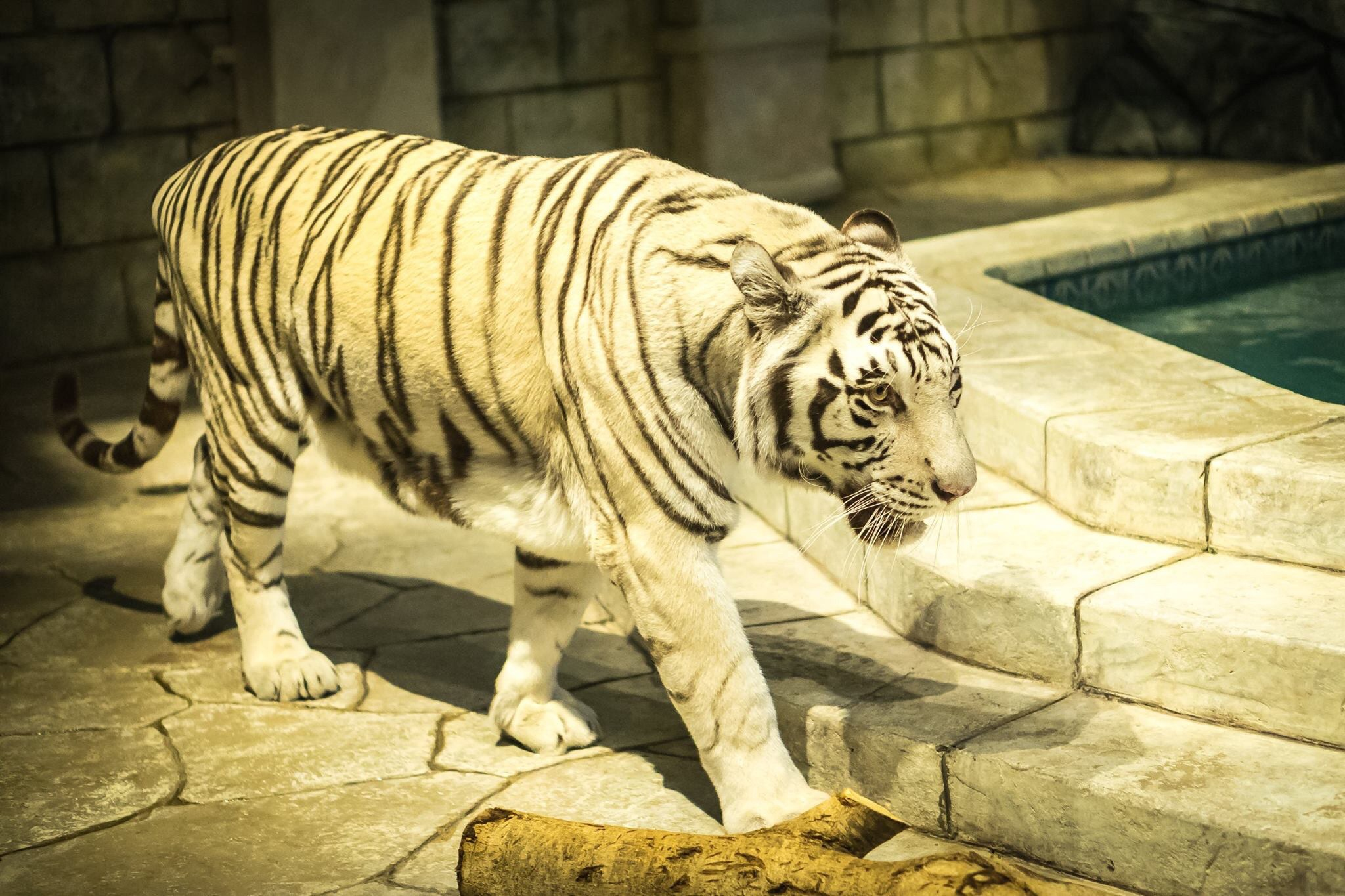 The White Tiger by Gerritt Tisdale