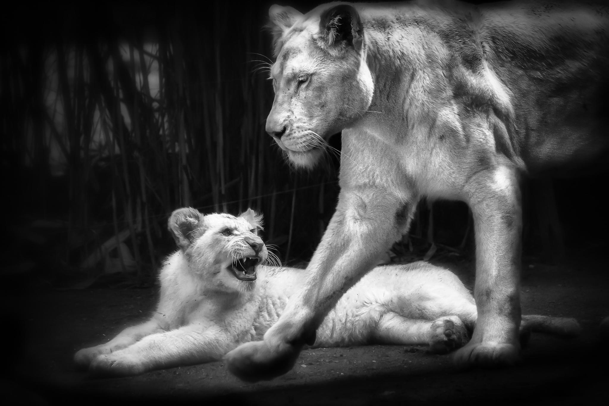 Lioness and cub by patrickbouquet37
