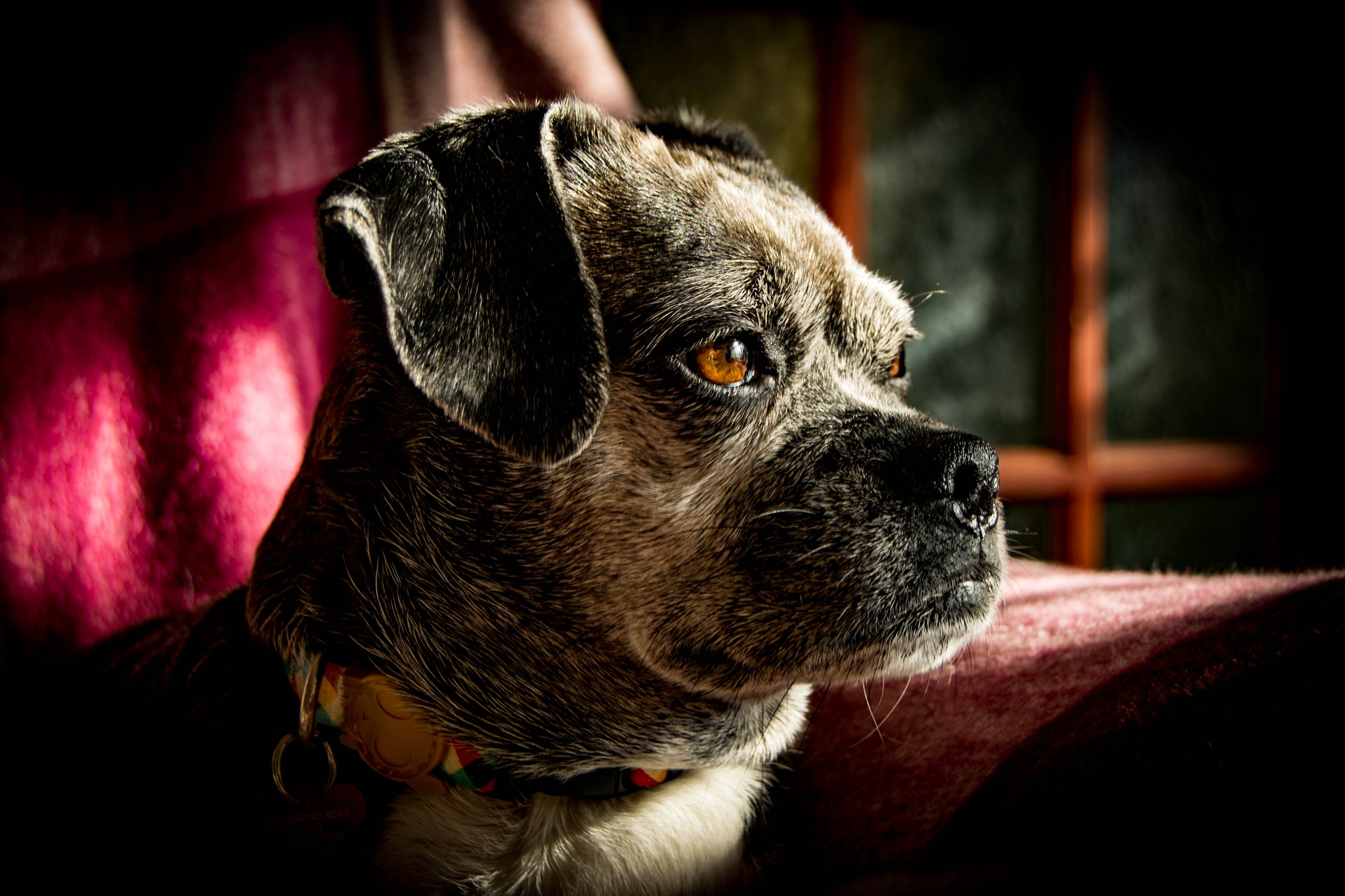 Photo in Animal #dog #pug #sunshine #sunlight #natural light #animal #pet #love #home #family #indoors #colour #grey #shadows #portrait #cute