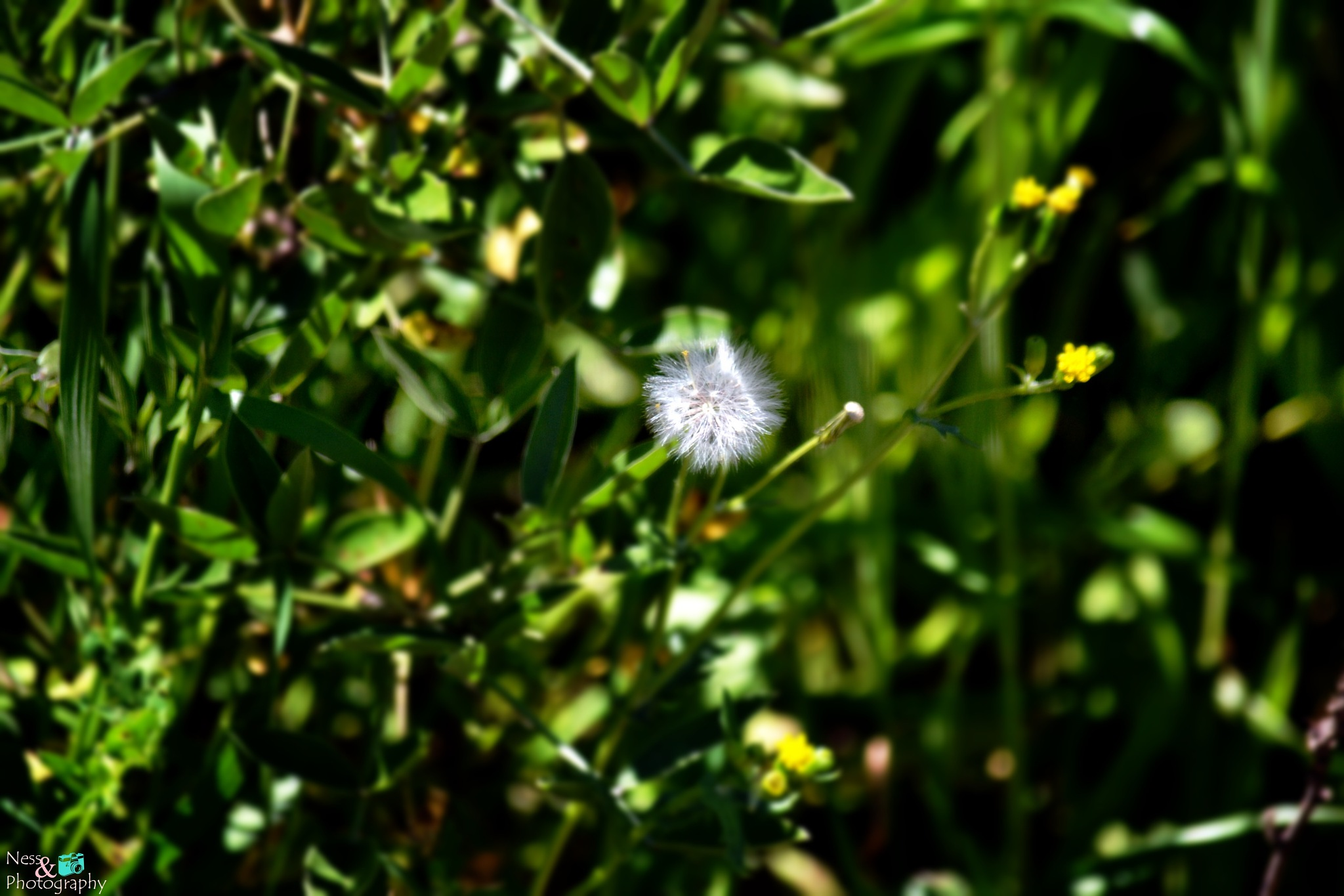 Dandelion by NessPhotography
