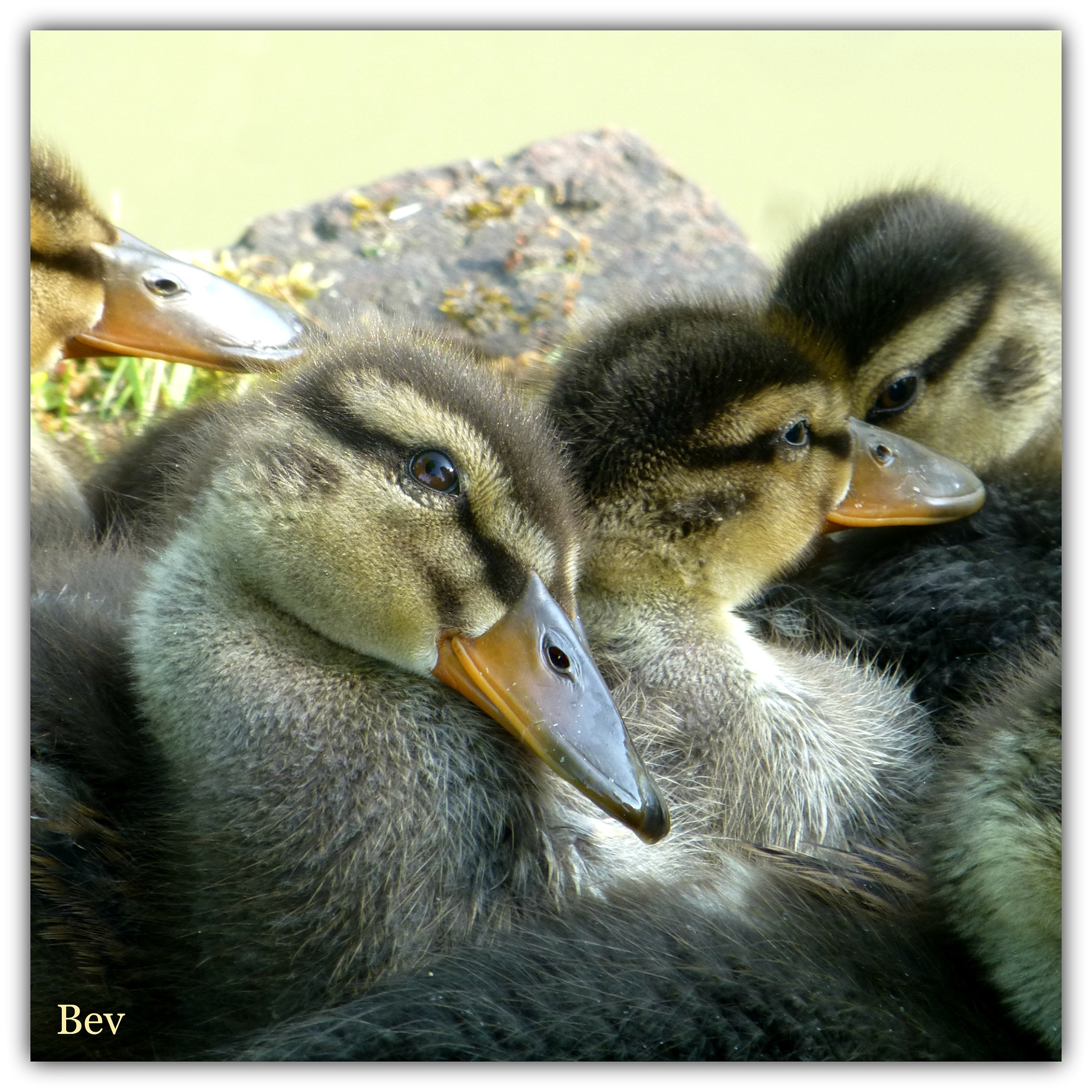 Photo in Nature #baddesley babes #baby ducklings #nature #baddesley clinton national tru #moat #sat in the sun #watching #poem my mum won the annual rac