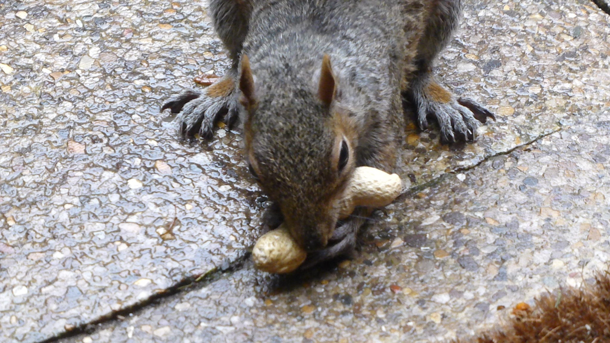 I LOVE PEANUTS . . . AT LAST TAMED . . . ! by beverley