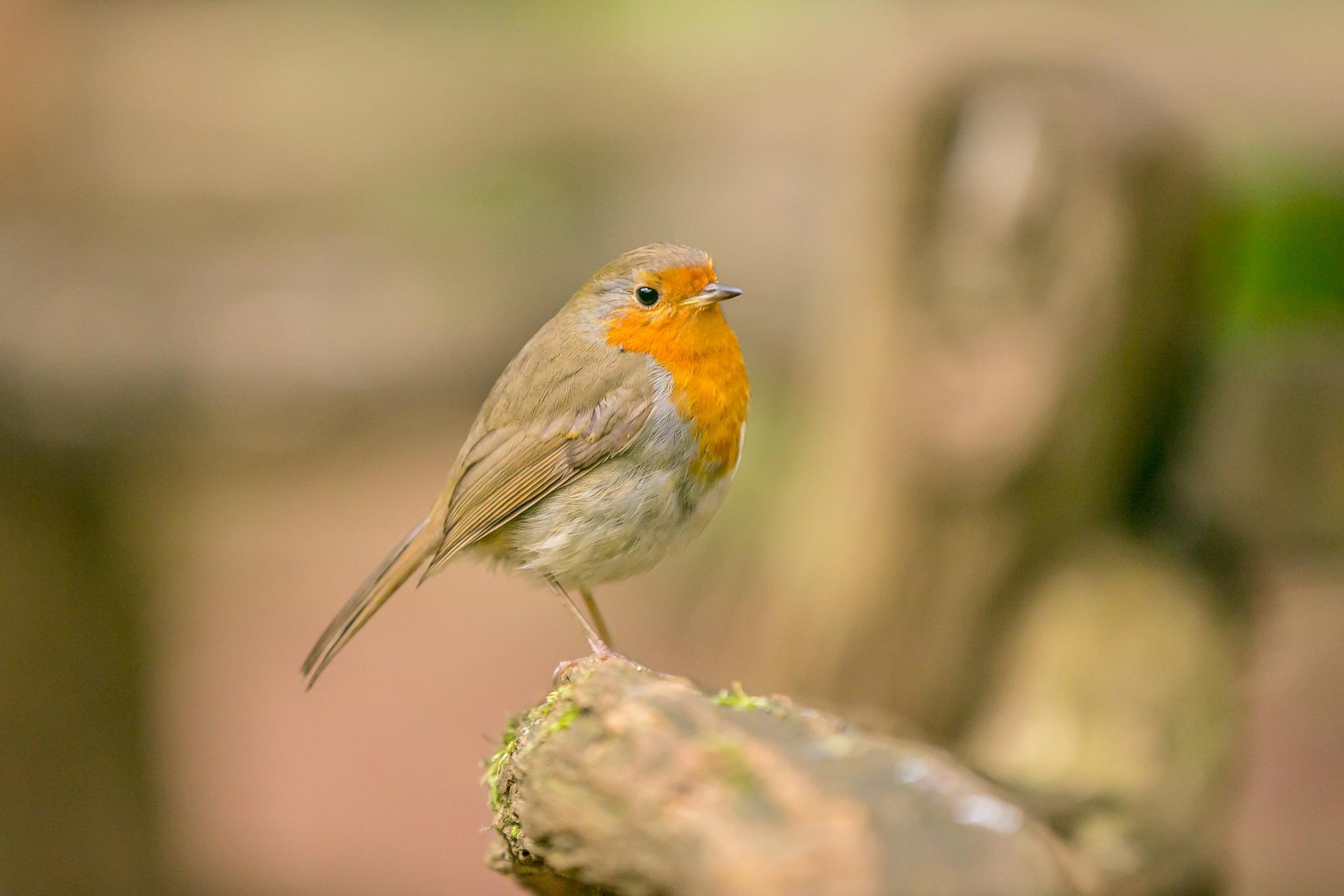 Robin by nigeburr
