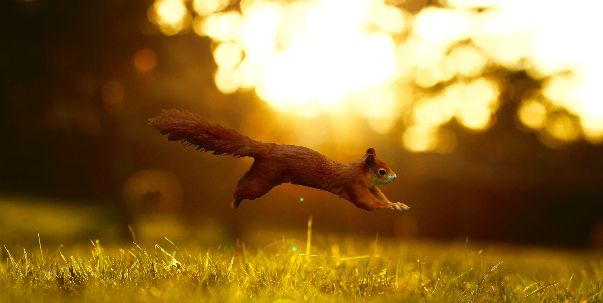 Red Squirrel Jumping  by James Blyth Currie