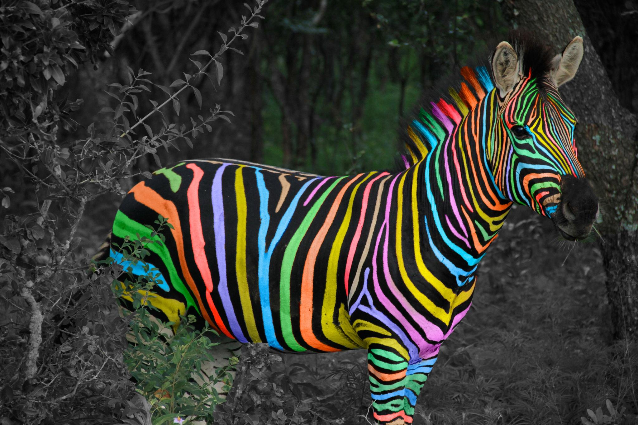Colourful Zebra by James Blyth Currie