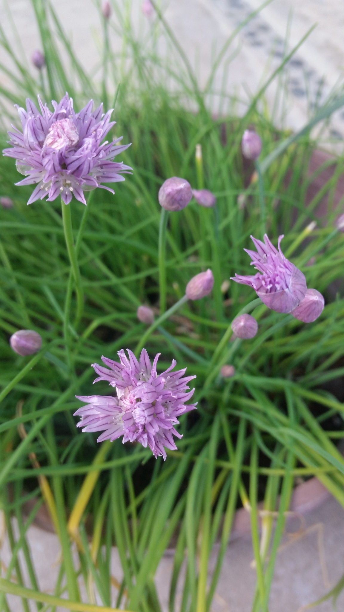 Chives in Bloom by Kendall Leigh