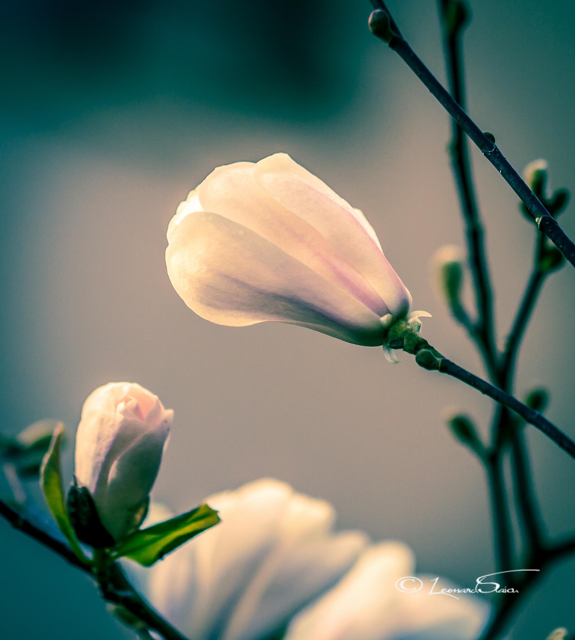Magnolia Blanche by Leo