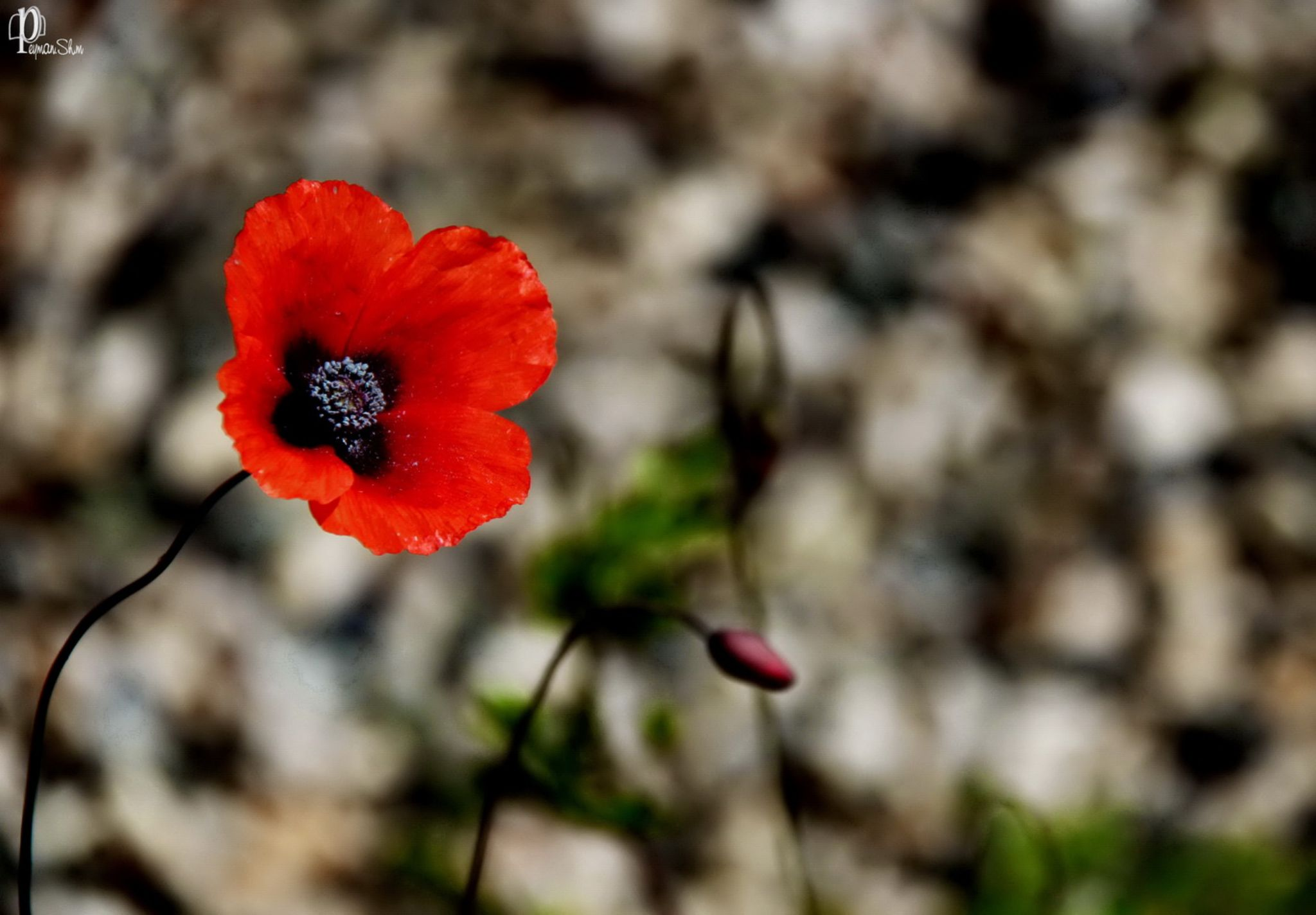 Red by Peyman shm