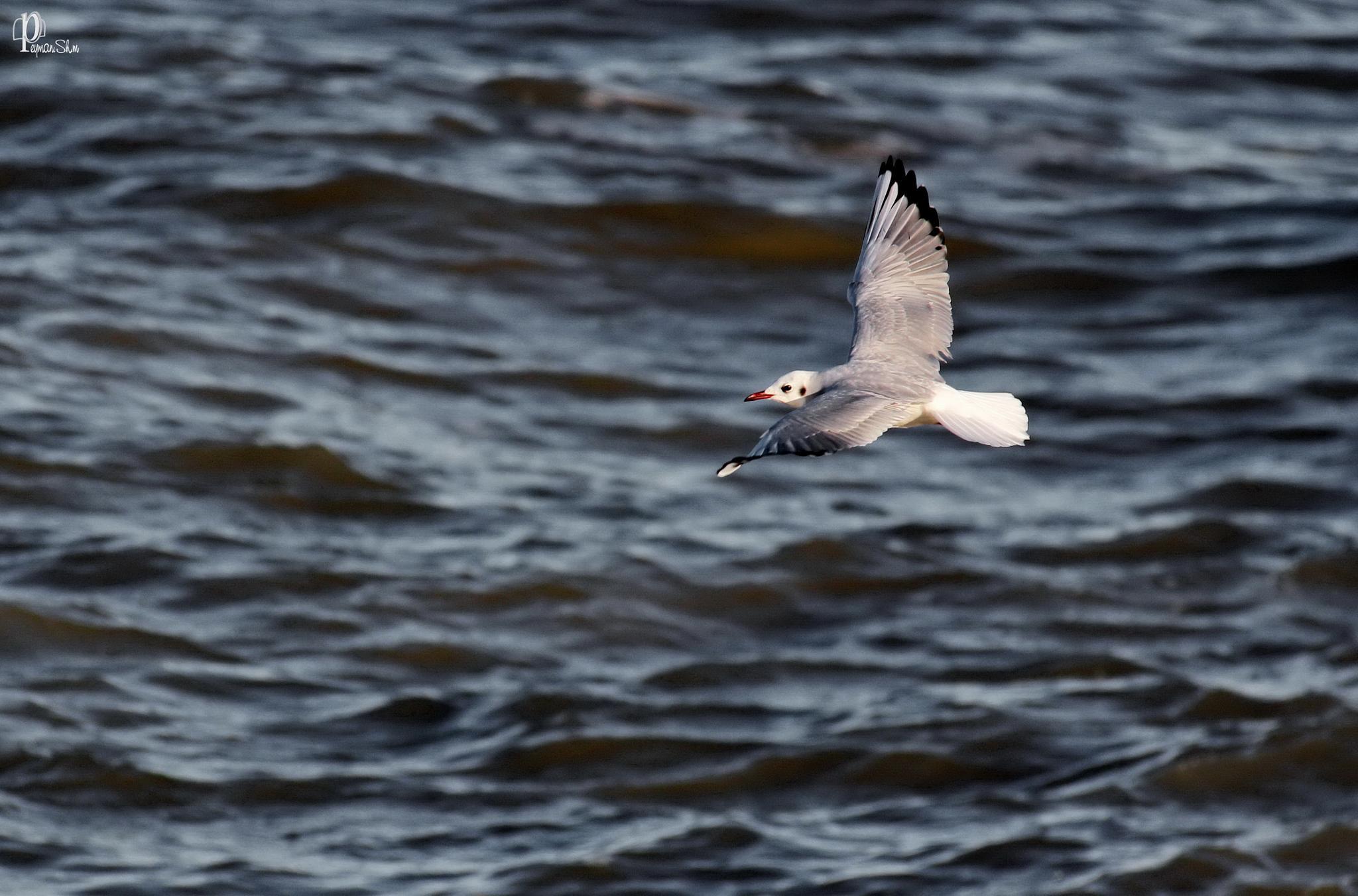 Fly by Peyman shm