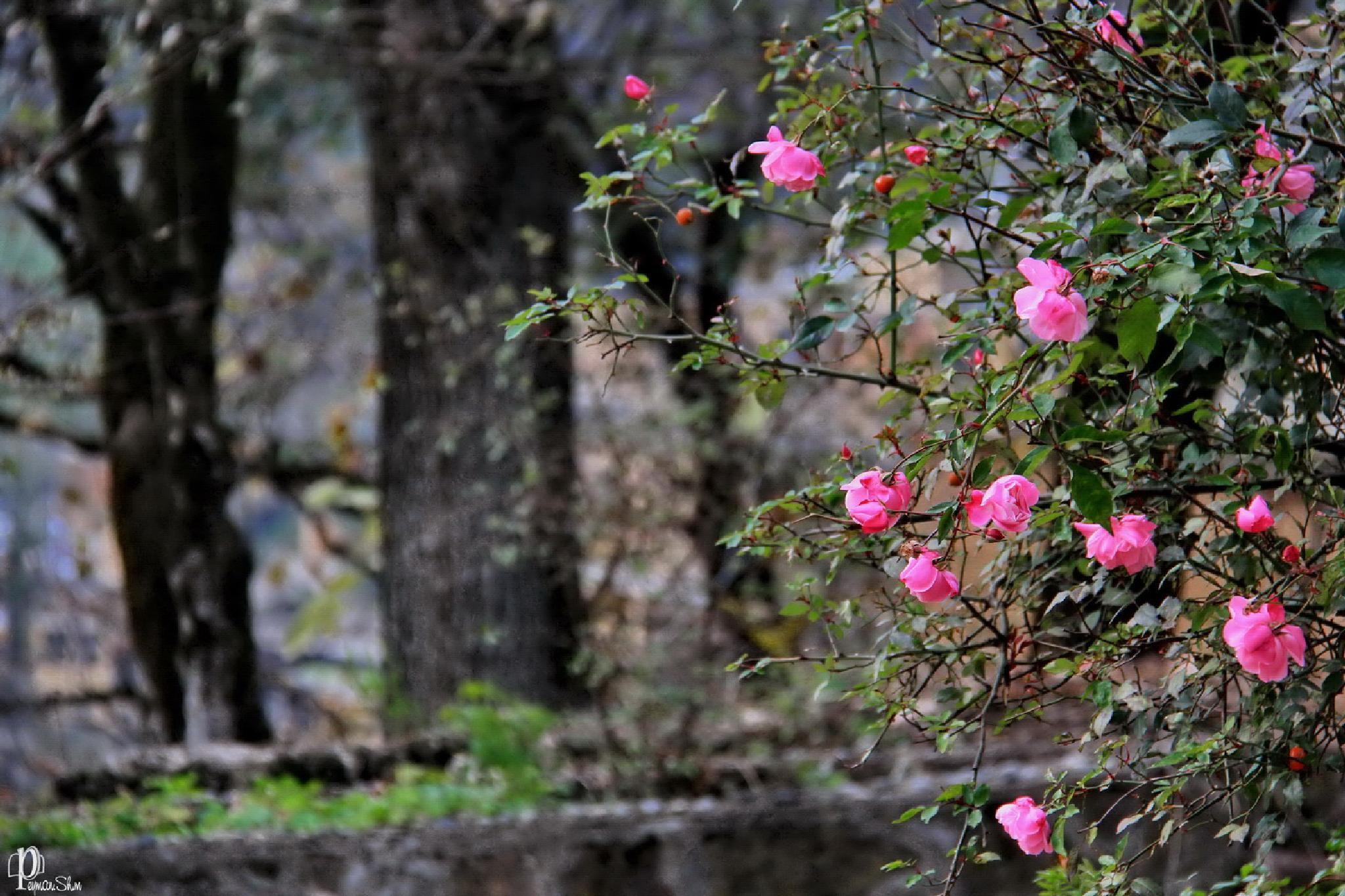 Pink by Peyman shm