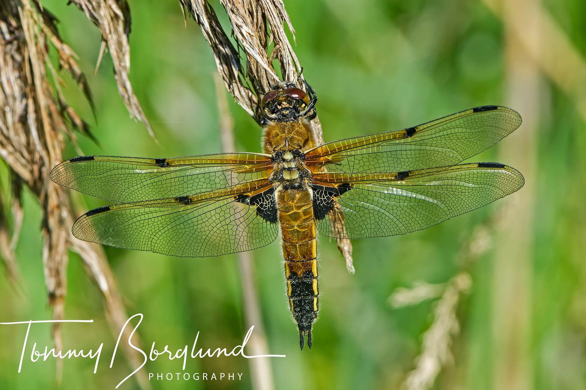 Four-spotted Chaser by TommyBorglund