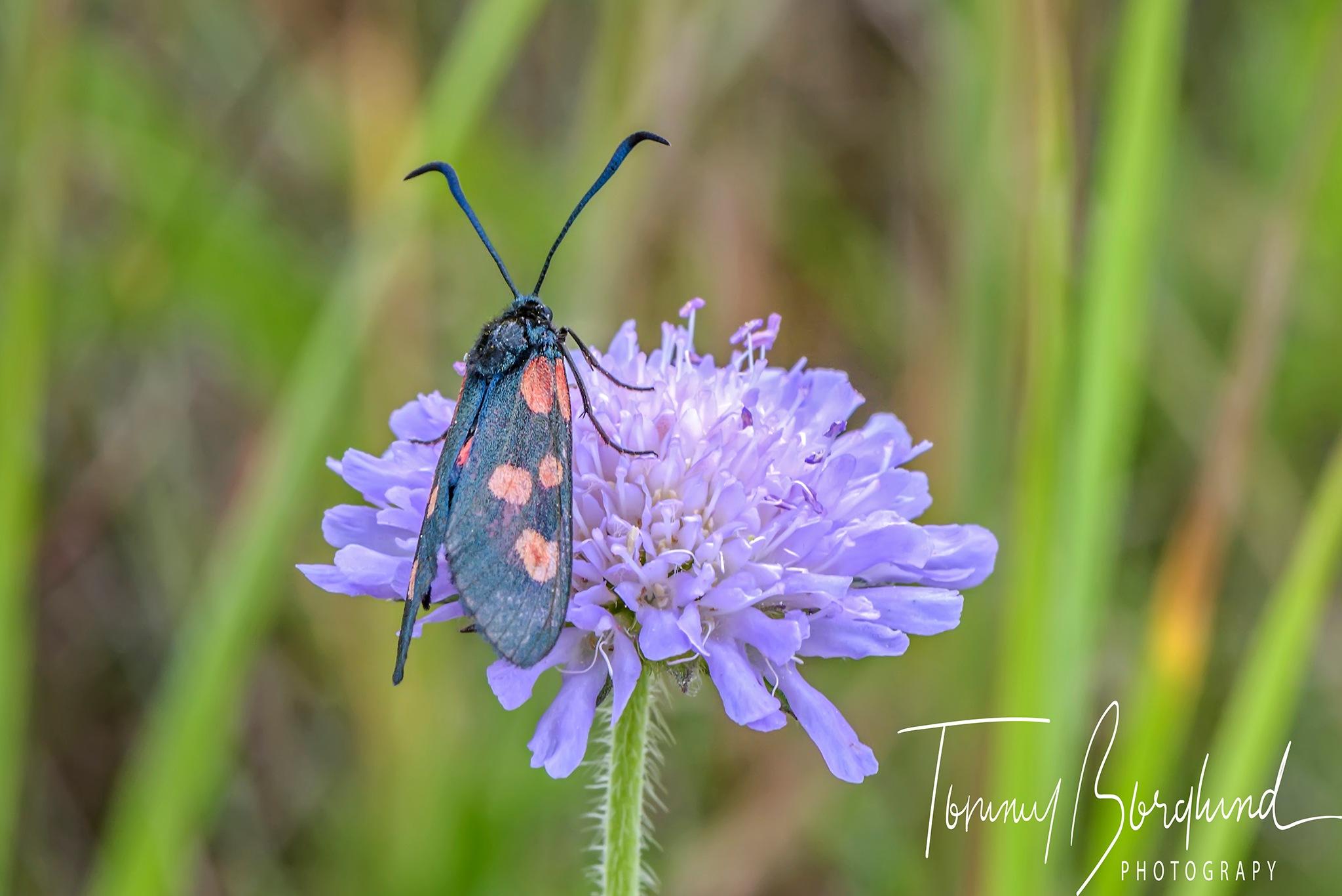Narrow-bordered five-spot burnet, (Zygaena lonicerae) by TommyBorglund