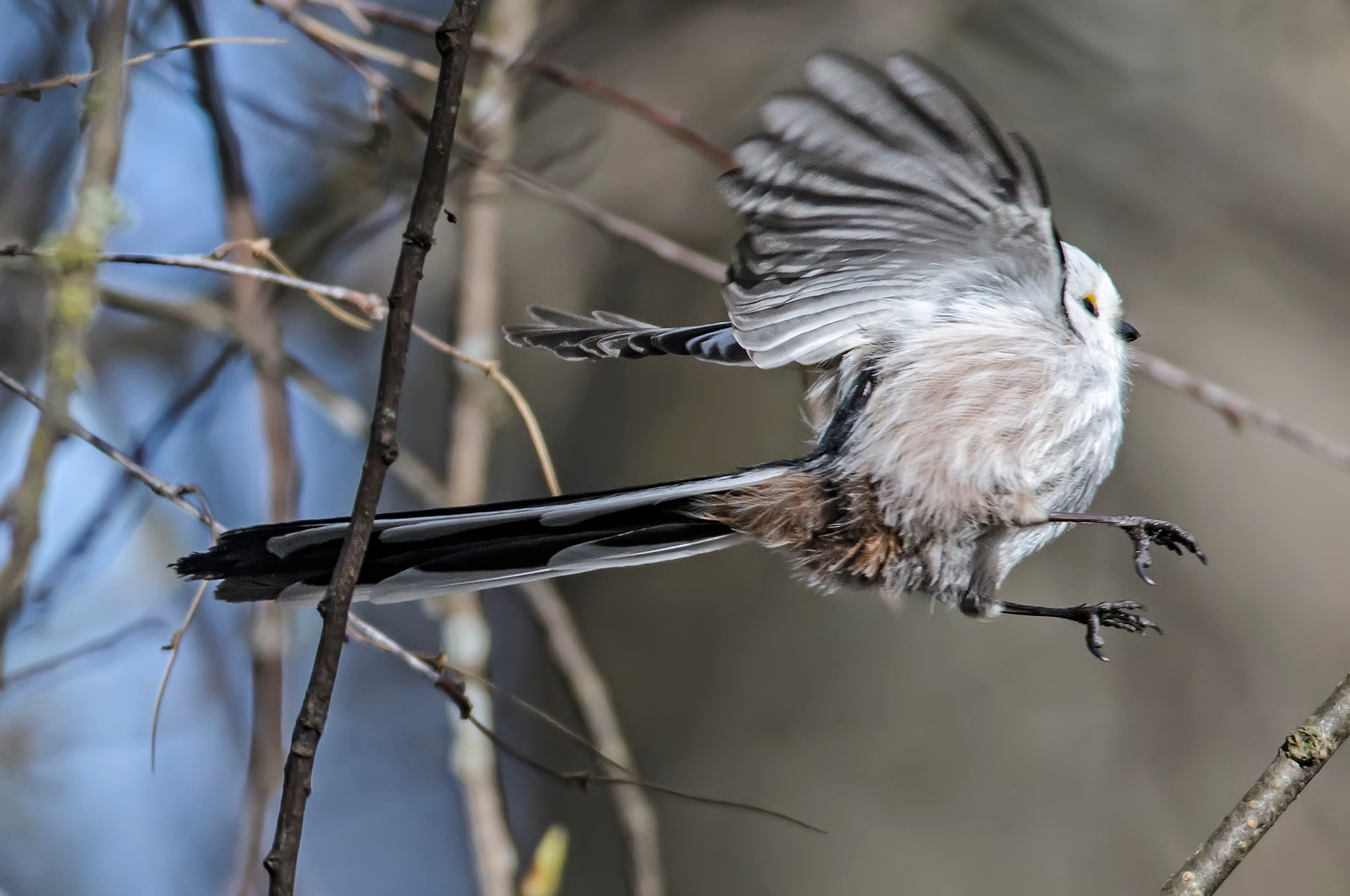Flying Long-Tailed Tit by TommyBorglund