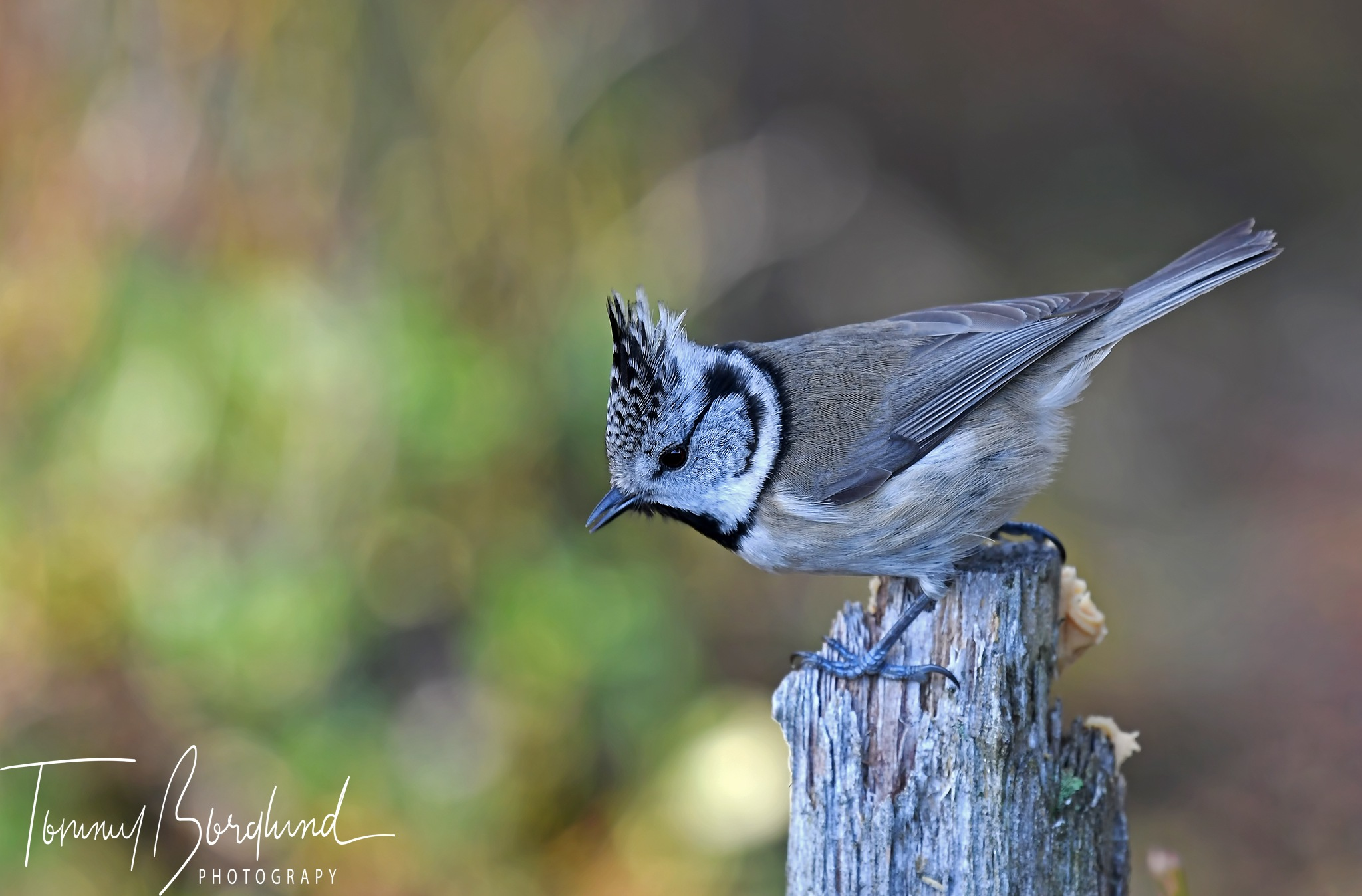 European crested tit by TommyBorglund