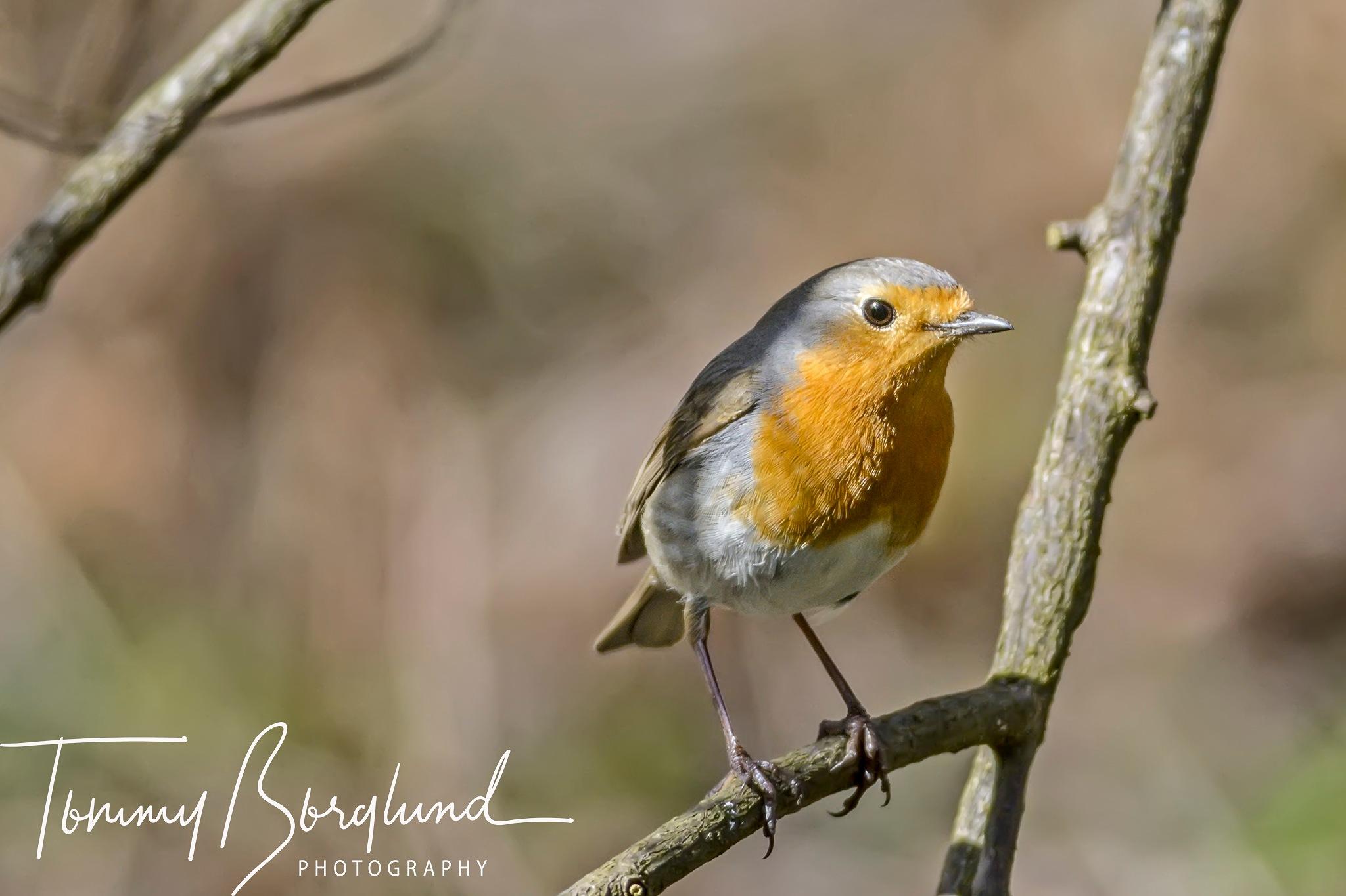 Robin  by TommyBorglund