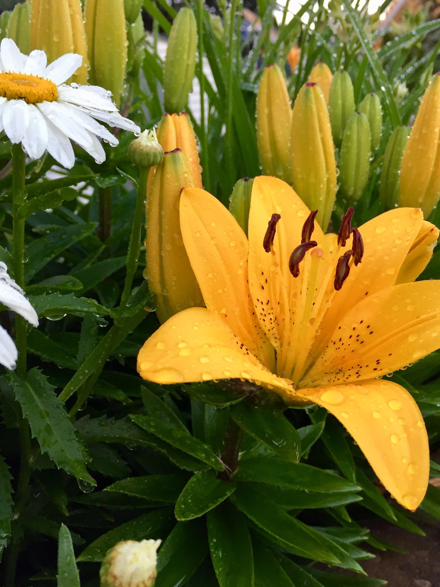Yellow lily  by Mariellart