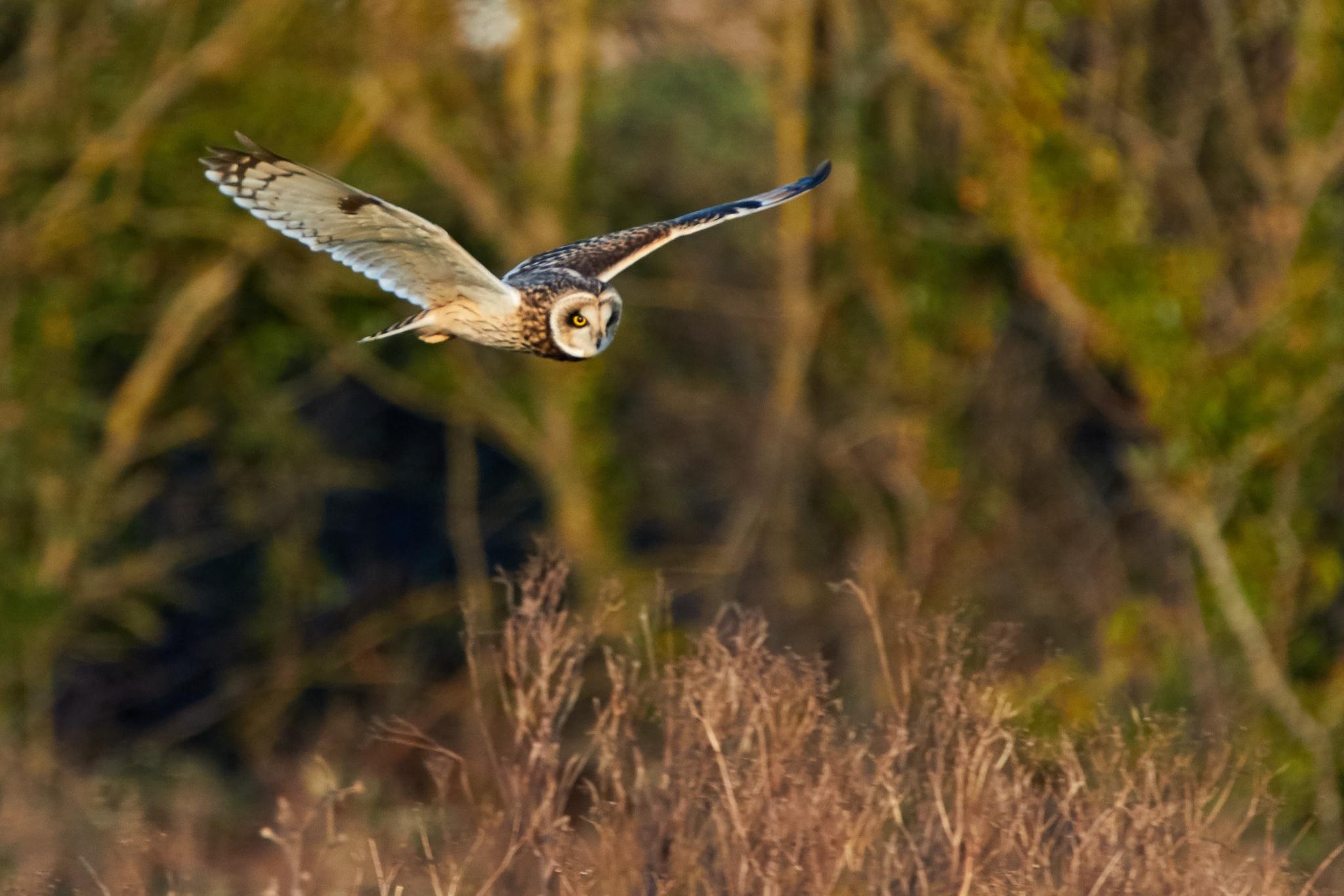 Short Eared Owl by FotoByA