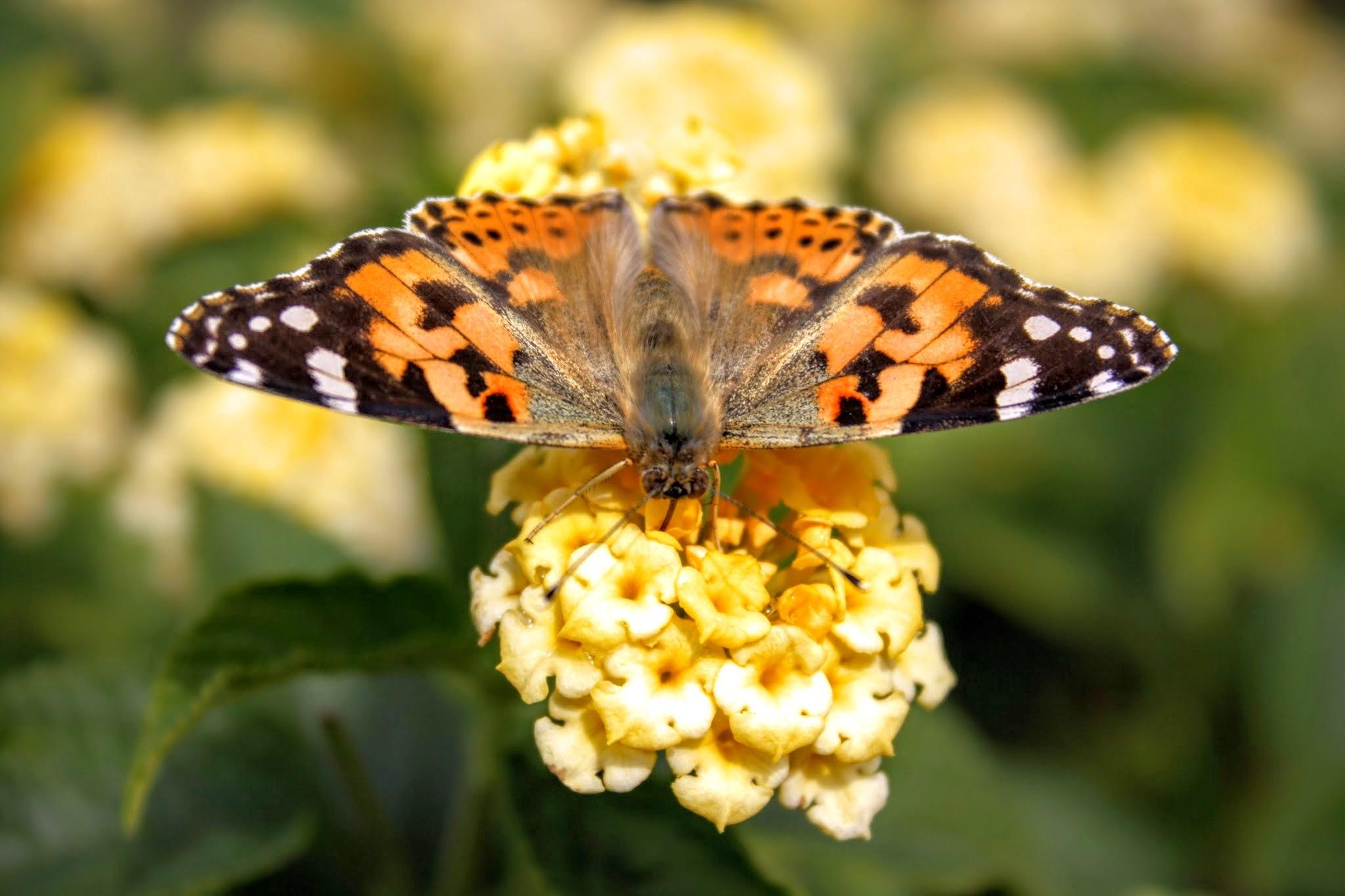 Papillon by Mostafa Bentayeb