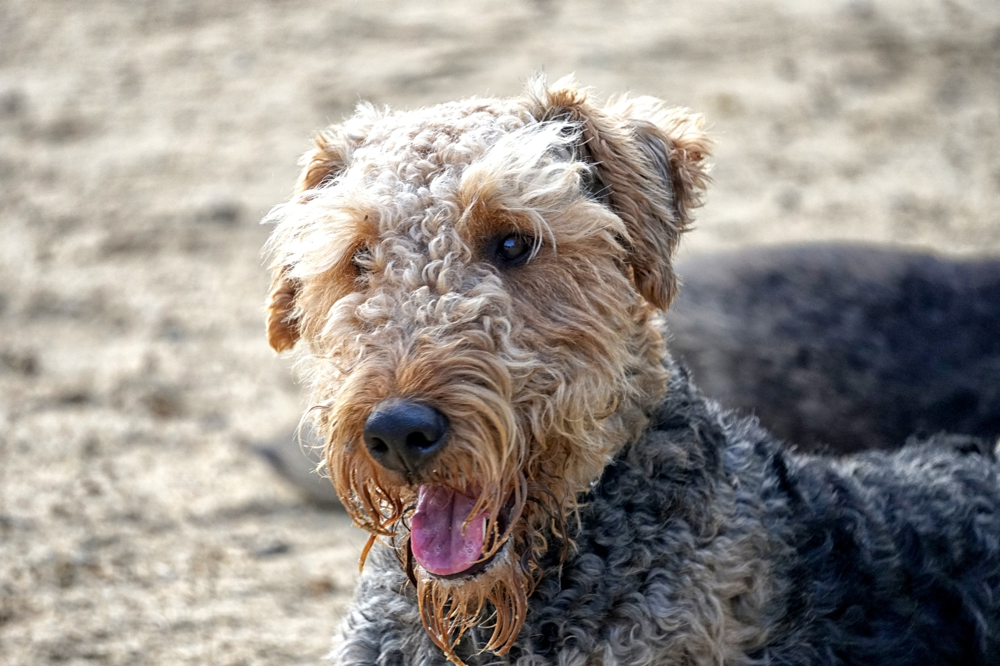 The Airedale terrier by Carlos Rosa Ferreira