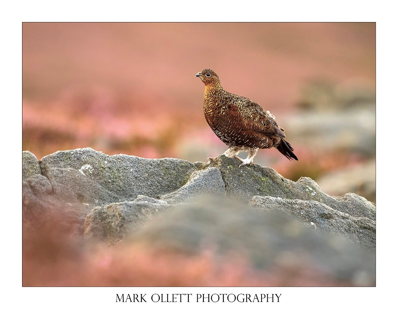 Red Grouse by MarkOllett