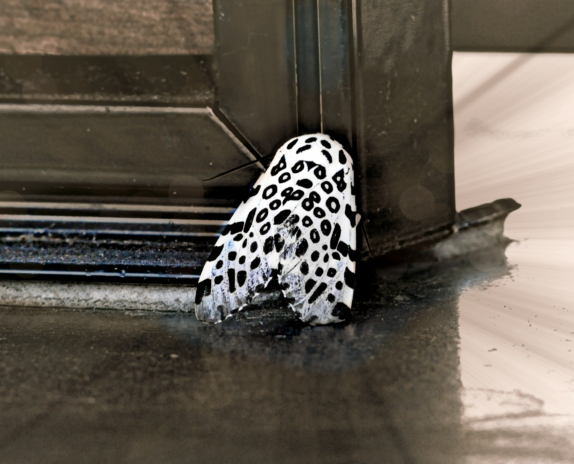 Leopard Moth by Tom Horonzy
