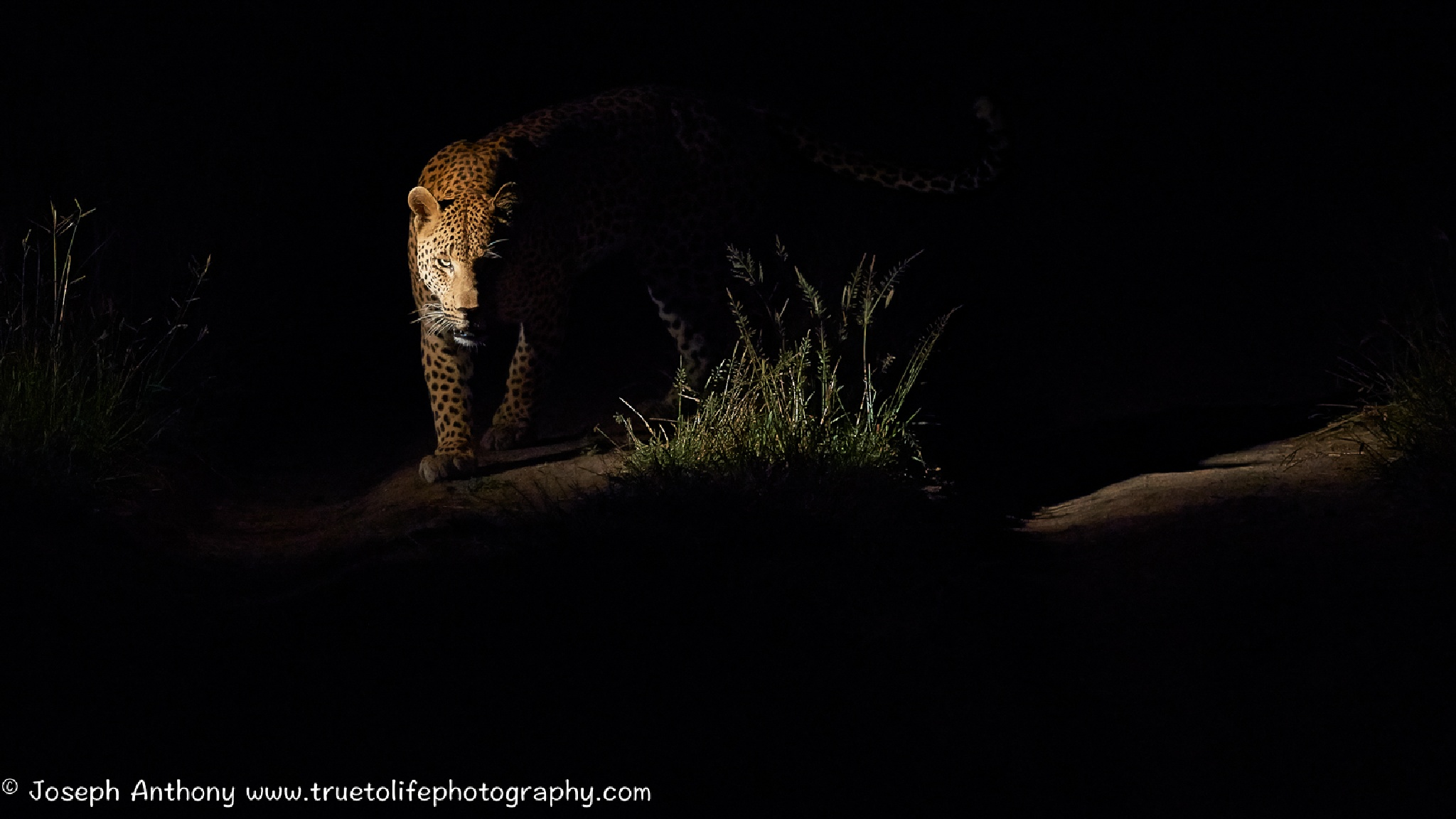 The essence of a leopard by Joseph Anthony