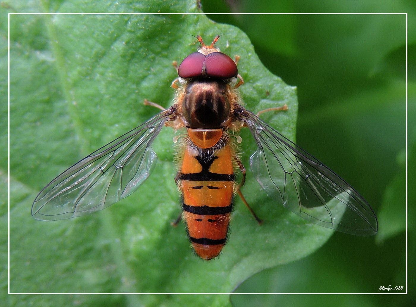 Цветна мува (Episyrphus balteatus) by Јовица М