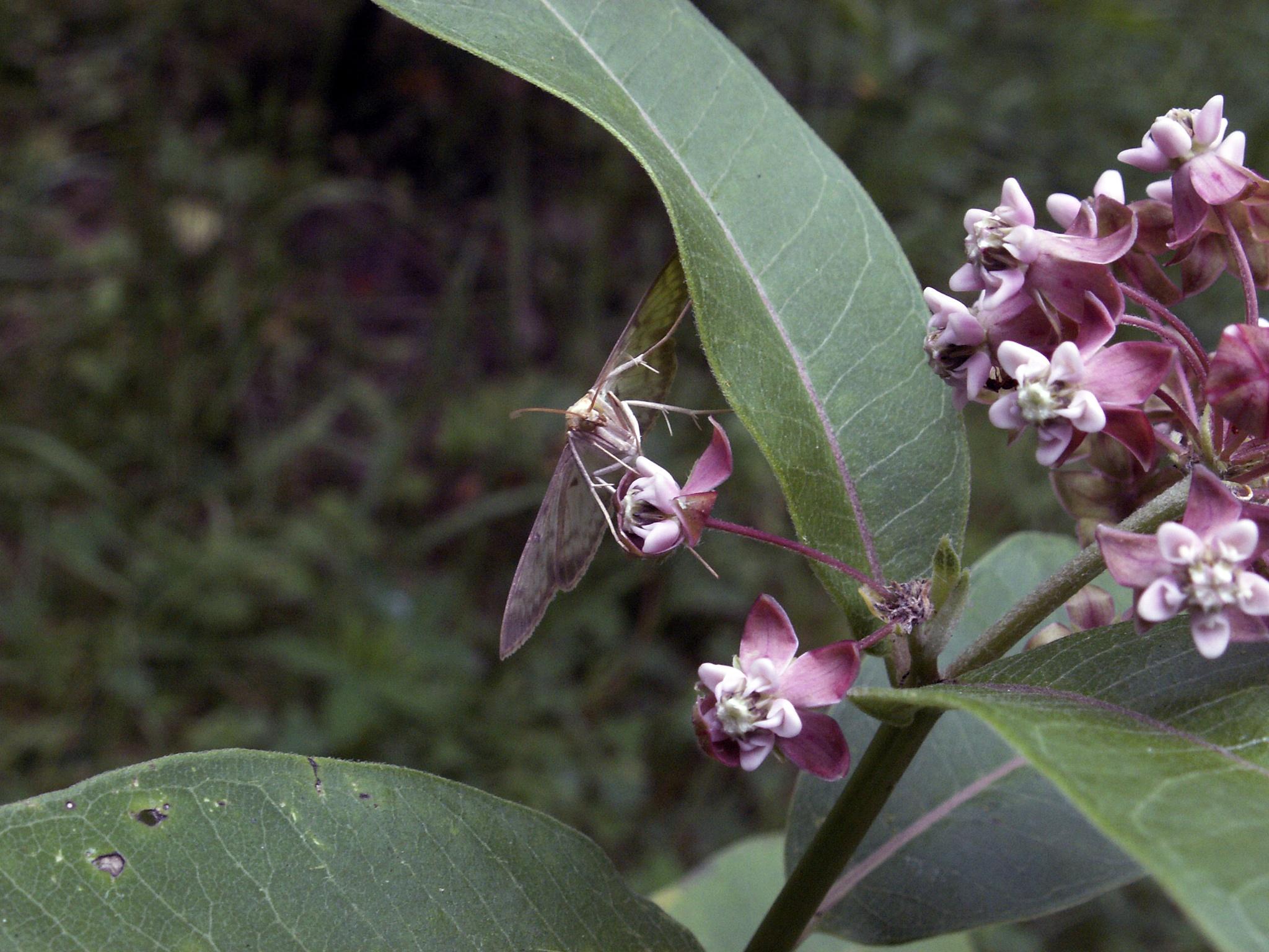 silkweed (Asclepias syriaca) & a butterfly by Alex  Falcon