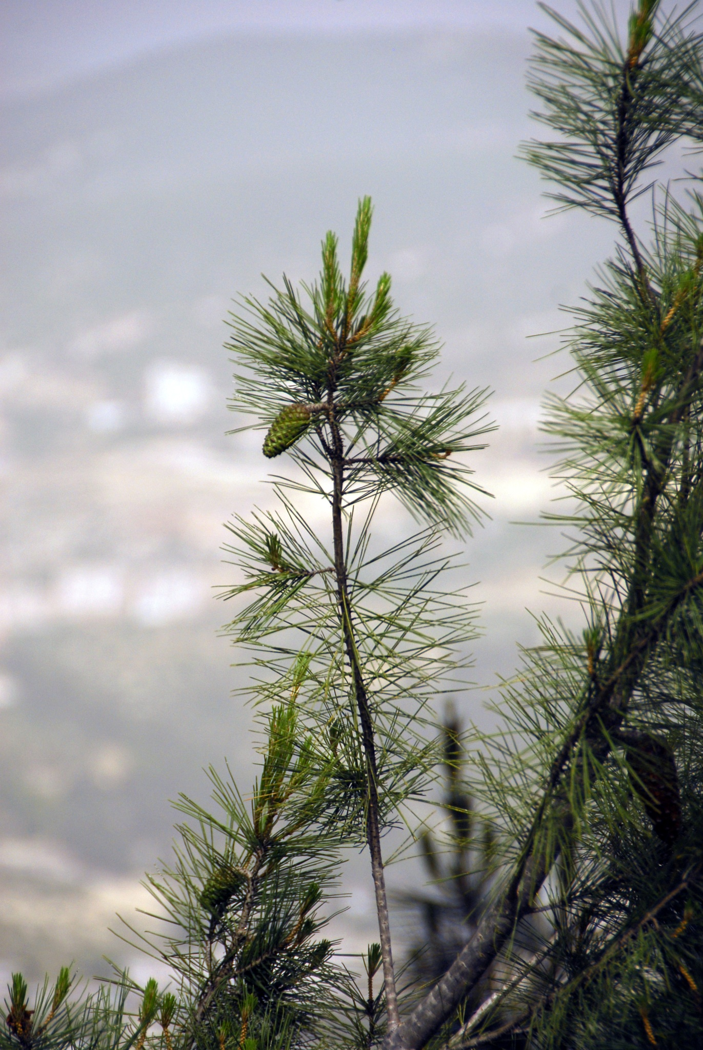 pine tree (Jordanian) by Alex  Falcon