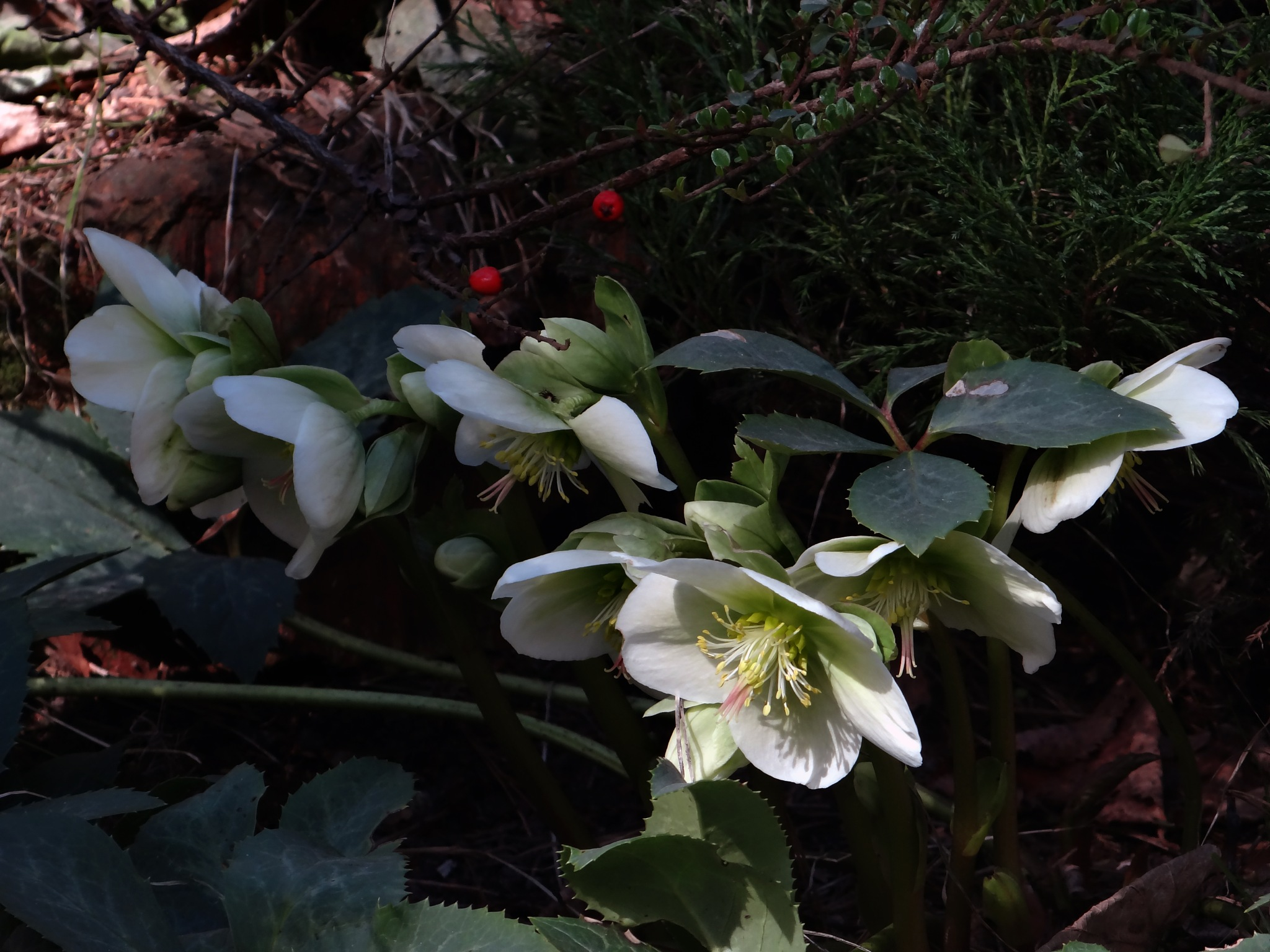 Christmas rose (black hellebore) in blossom - 'Twas early in May  by Alex  Falcon