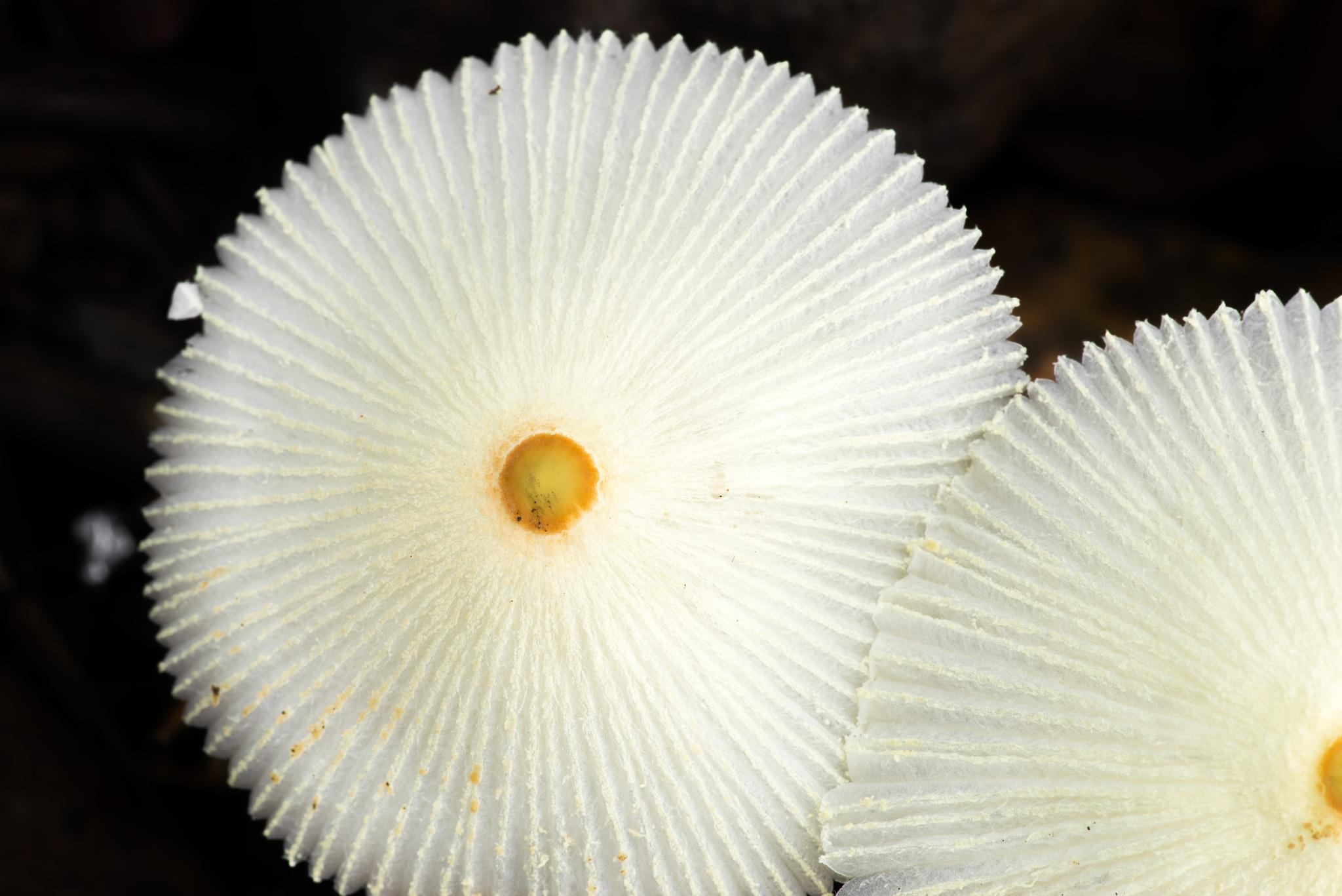 White Mushroom by JaribFoto