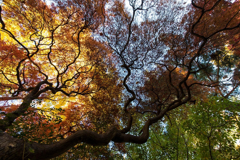 Under a Japanese Maple Tree by KurtShaffer