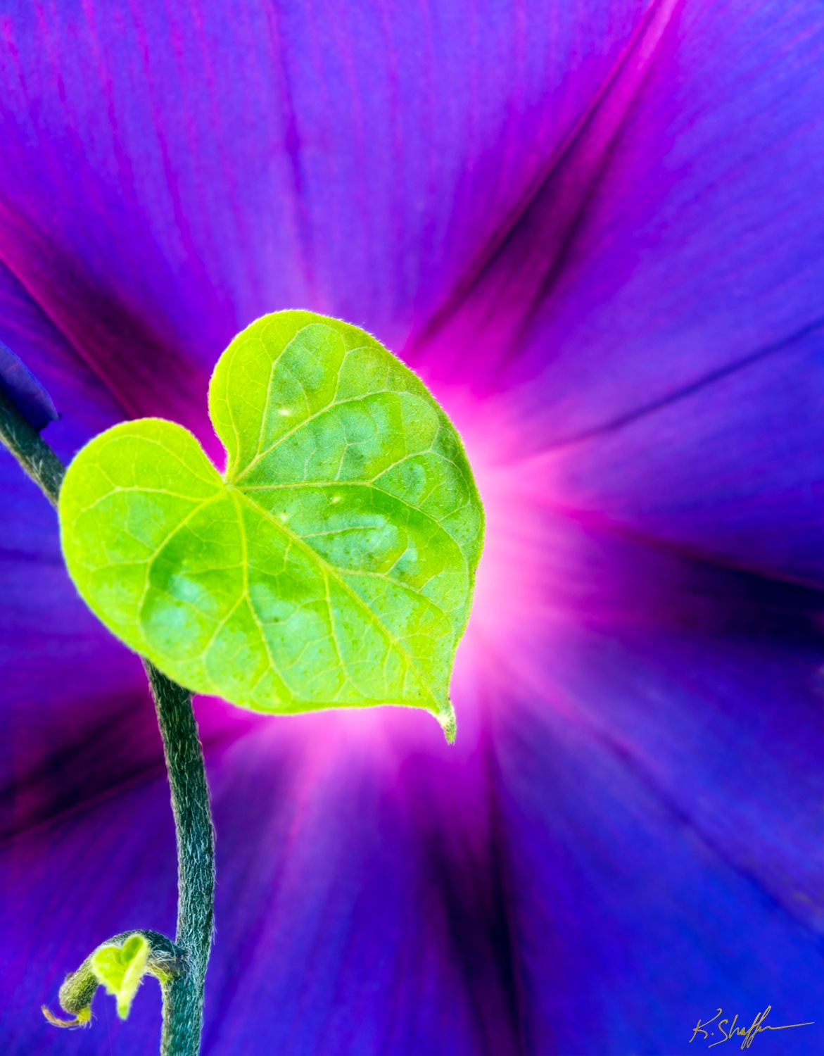 Heart of the Morning glory by KurtShaffer