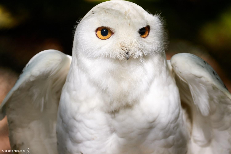 Snow Owl by Jakob Lehner