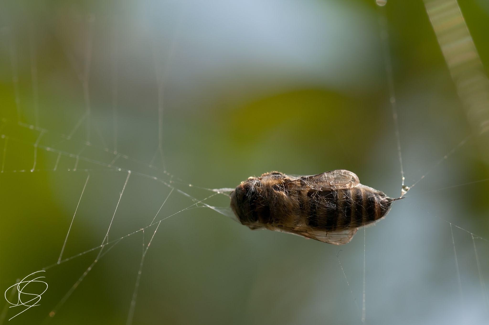 Spider web v.s. bee by Daniël Schuiling
