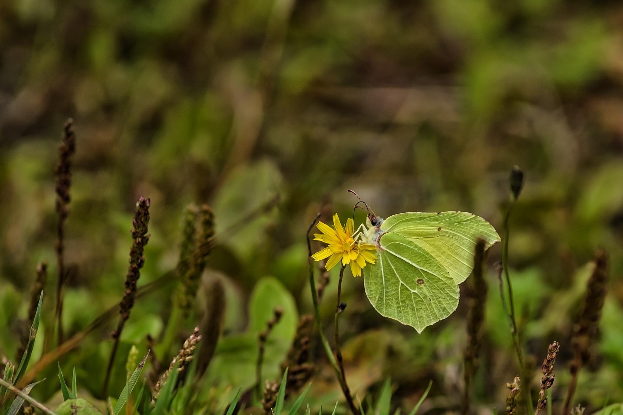 Butterfly by Daniël Schuiling