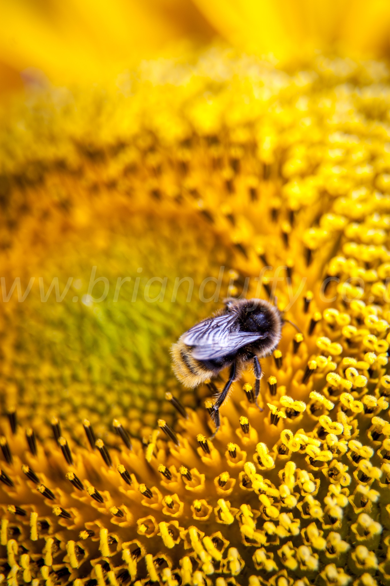 Bee on a sunflower by BrianDuffyPhoto