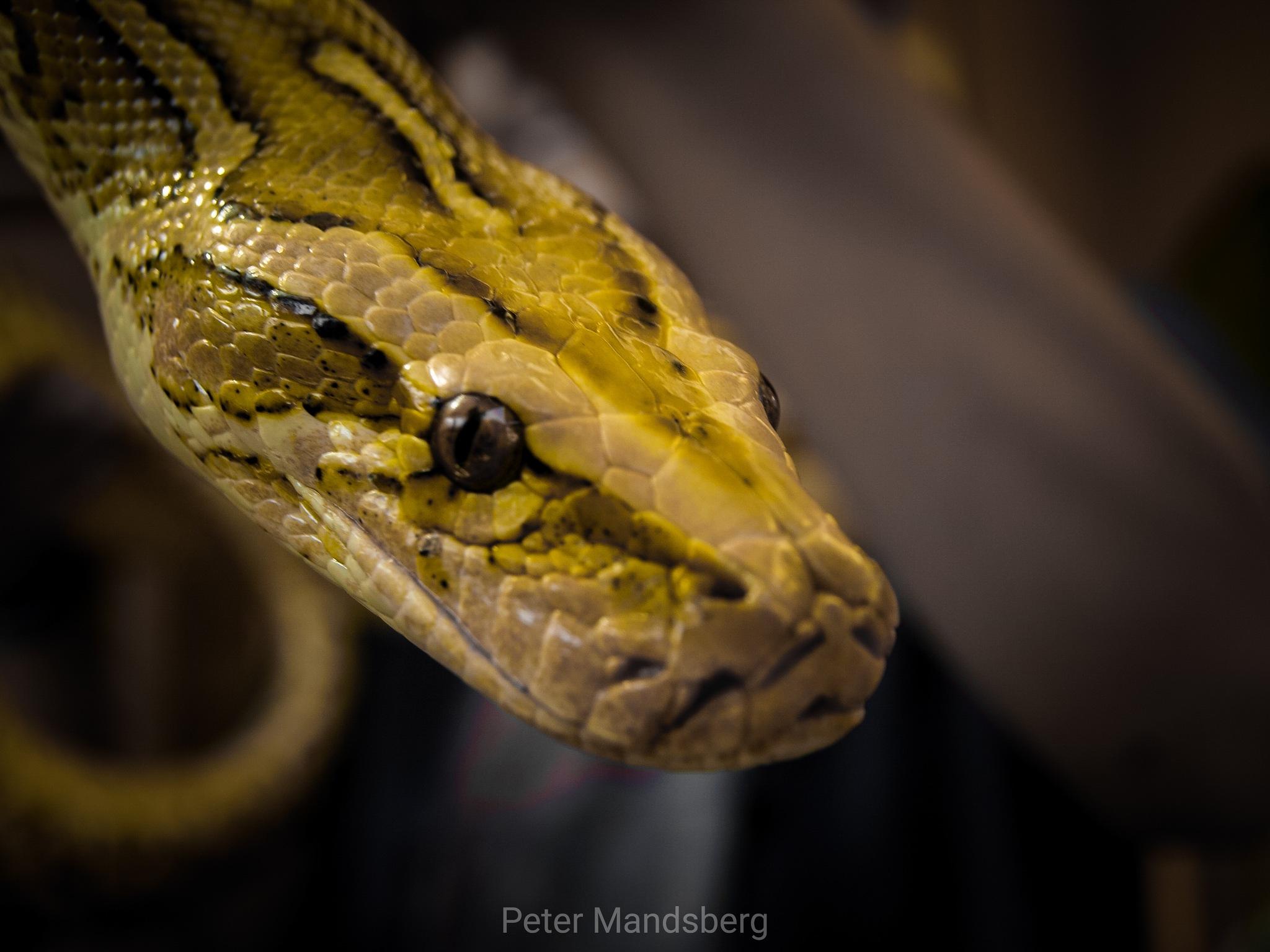 Snake by Peter Mandsberg