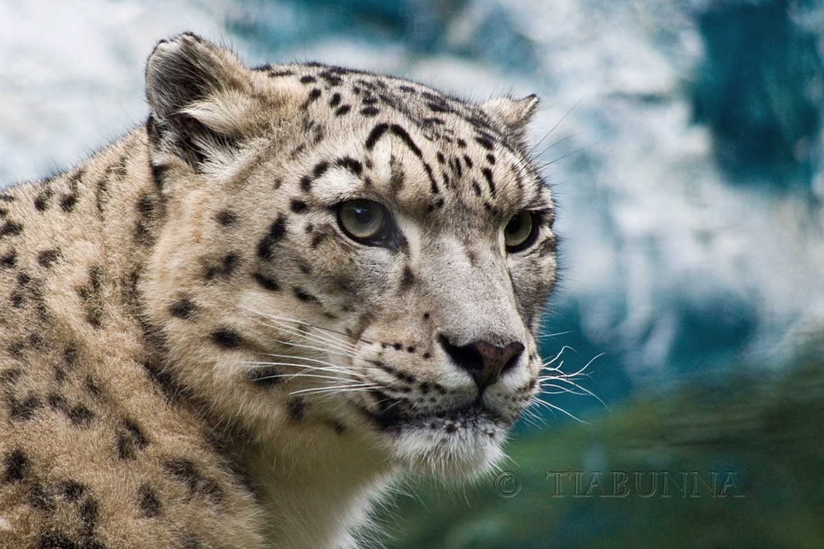 The snow leopard by George Cook