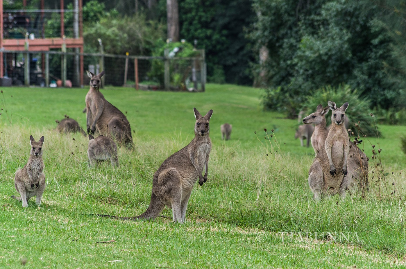 Photo in Animal #kangaroos #mob #eastern grey #grass #nature #animals #wild #free #watching #alert