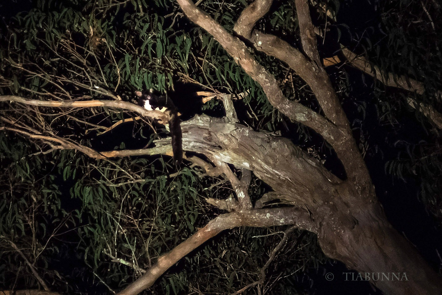 The Greater glider by George Cook