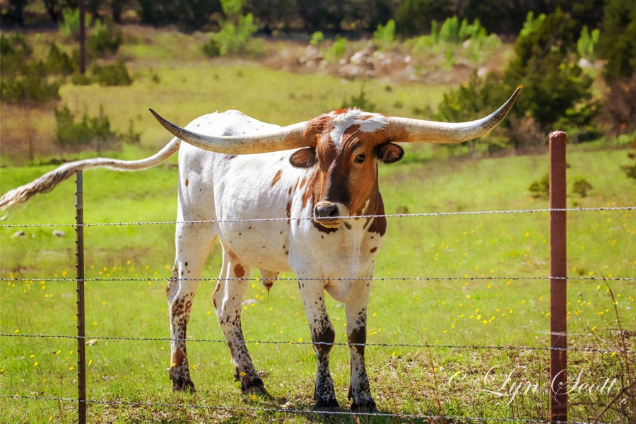Longhorn Baby by texaseve