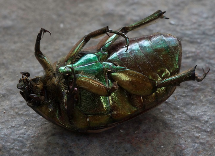 Green June Beetle by FritzMendell