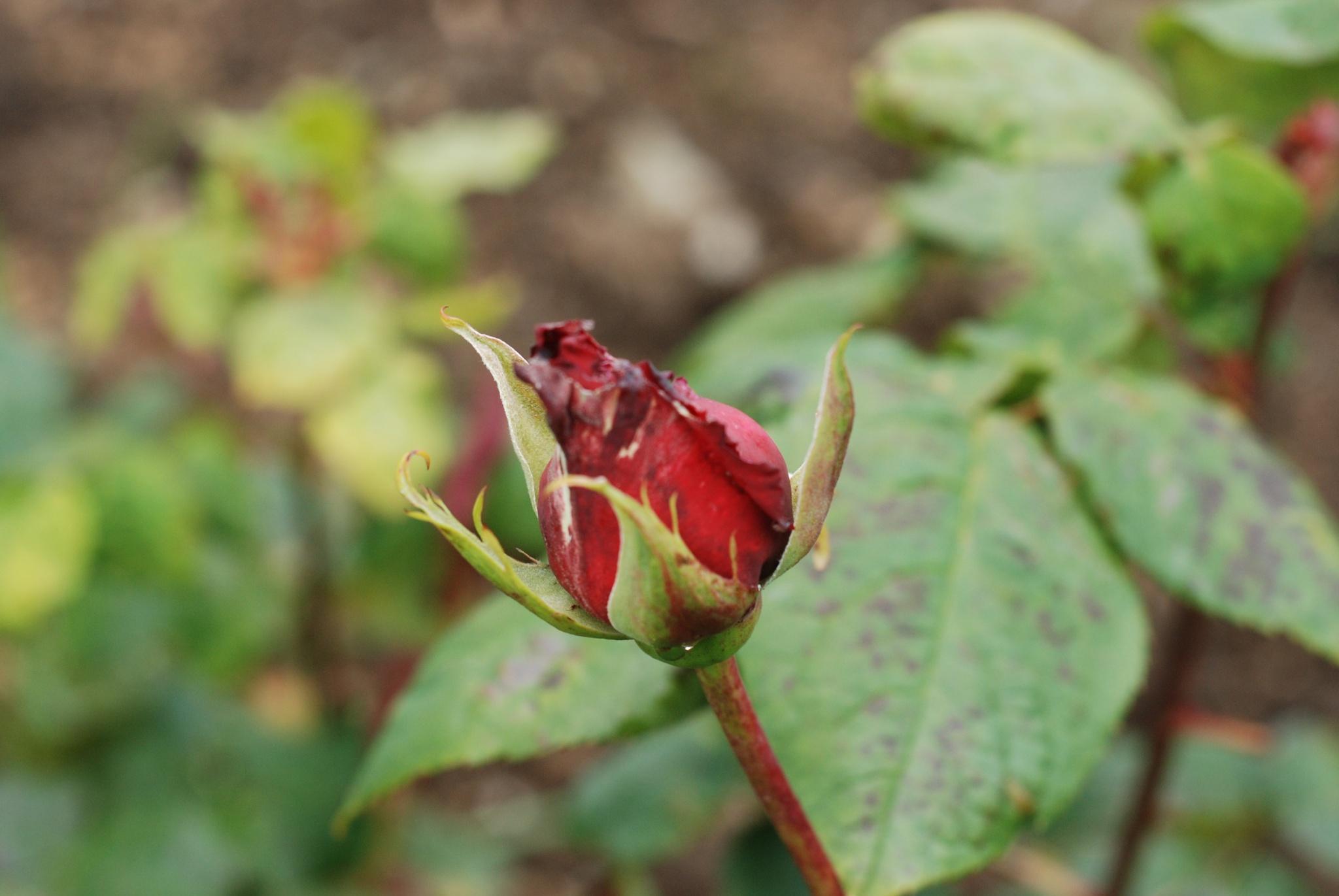 Budding Flower by RichardMoloney