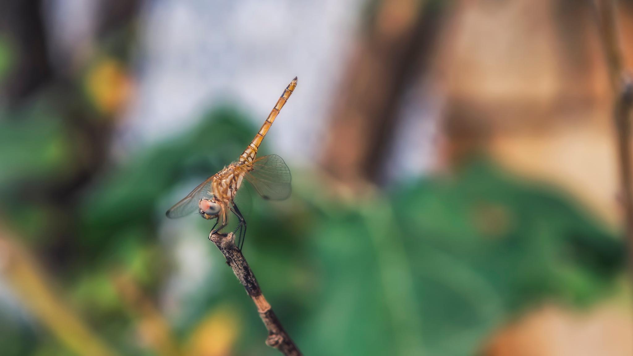dragonfly portrait  by Lotfi Chouchene