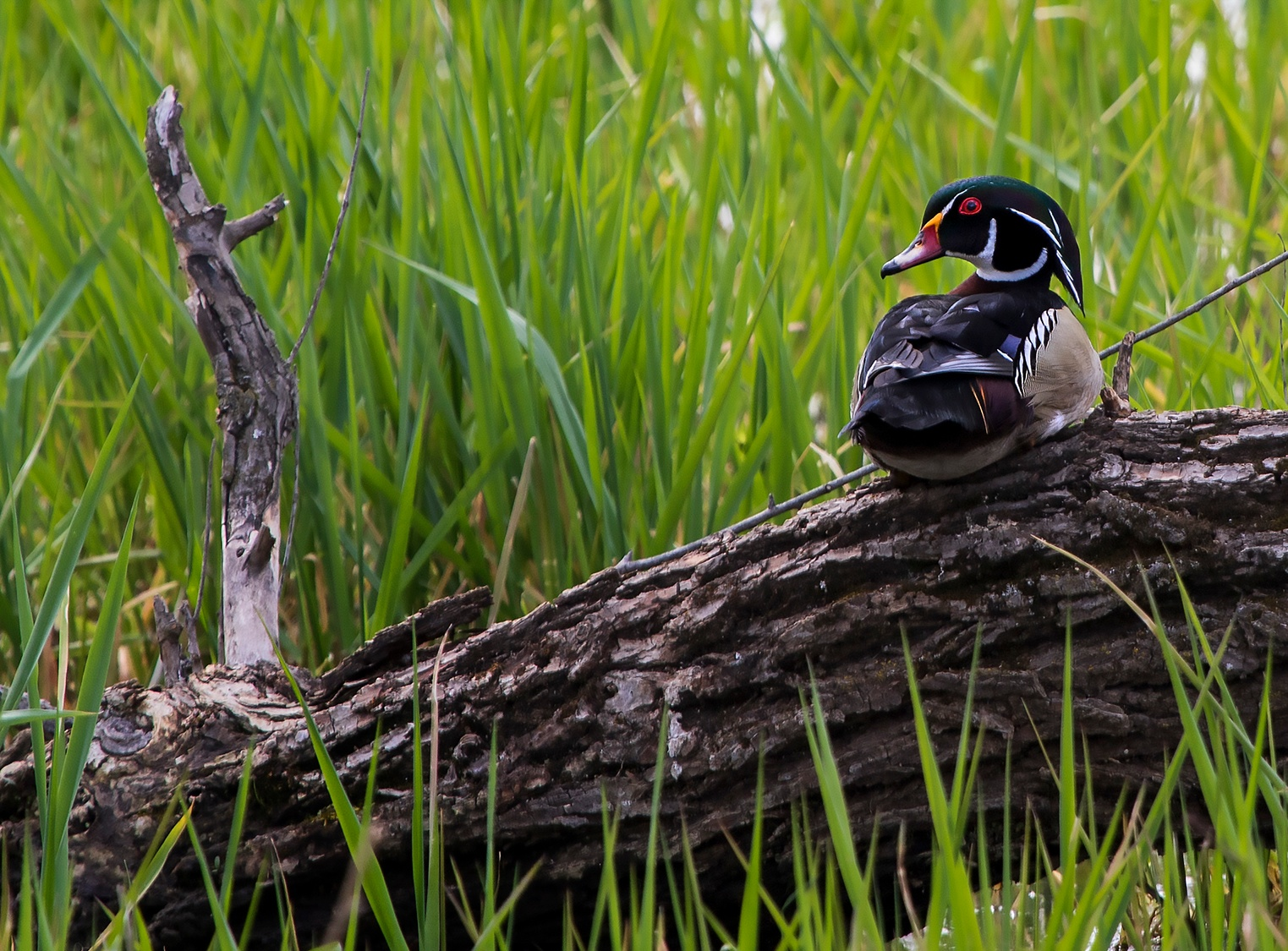 Wood Duck on Wood by JMHmy87