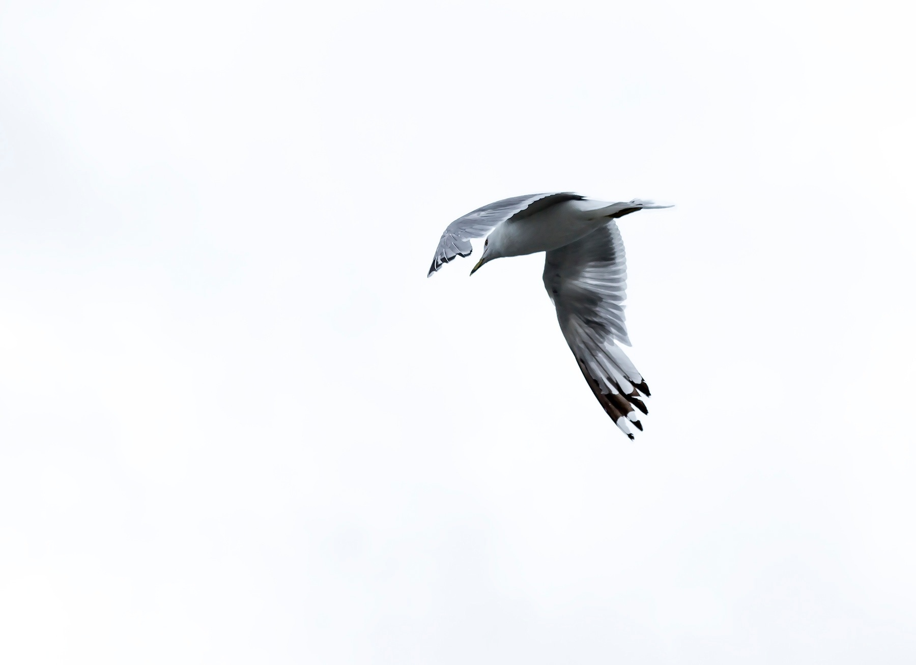 Seagull on White by JMHmy87