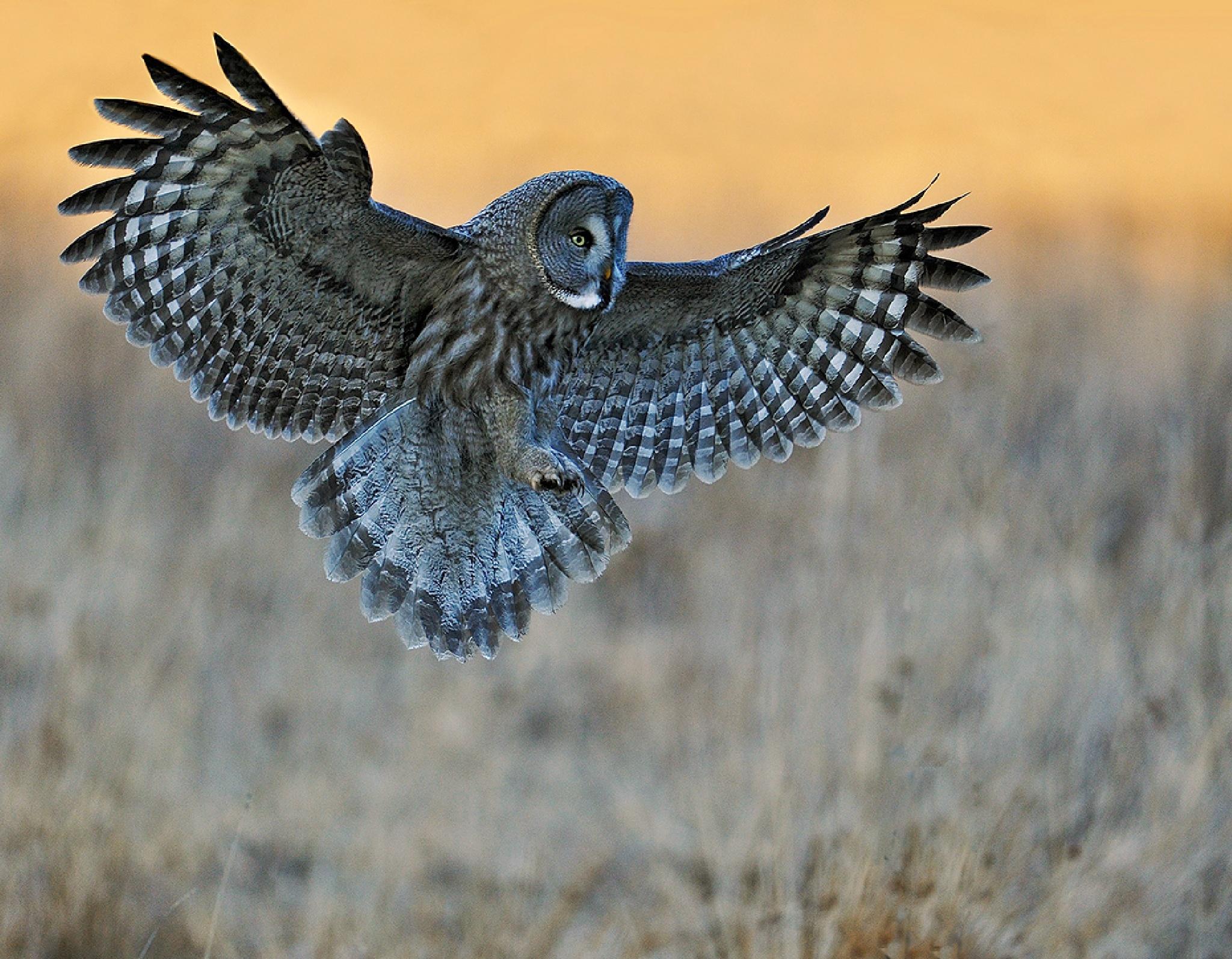 Great grey owl by Pekka Pulsa
